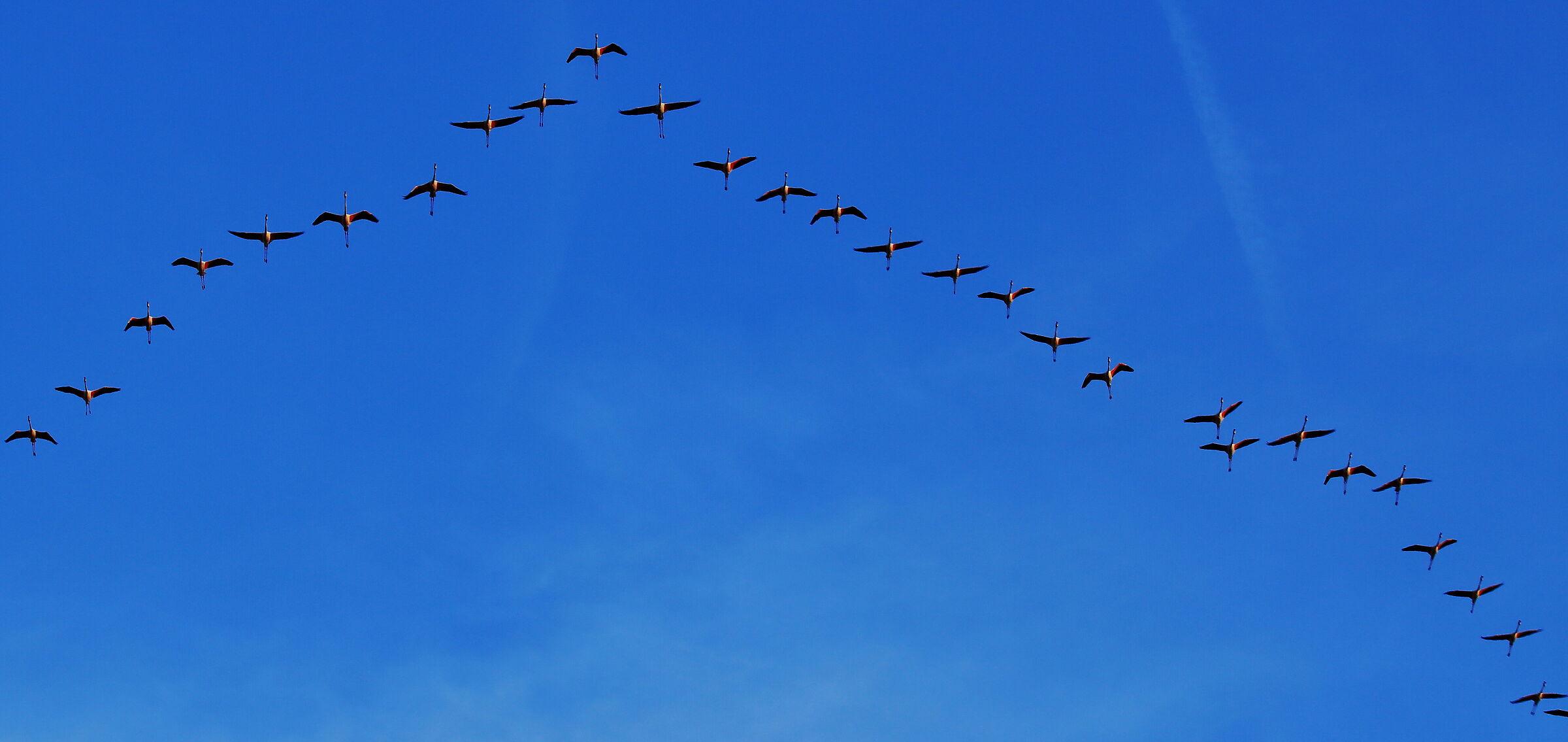 ... flamingos in formation......