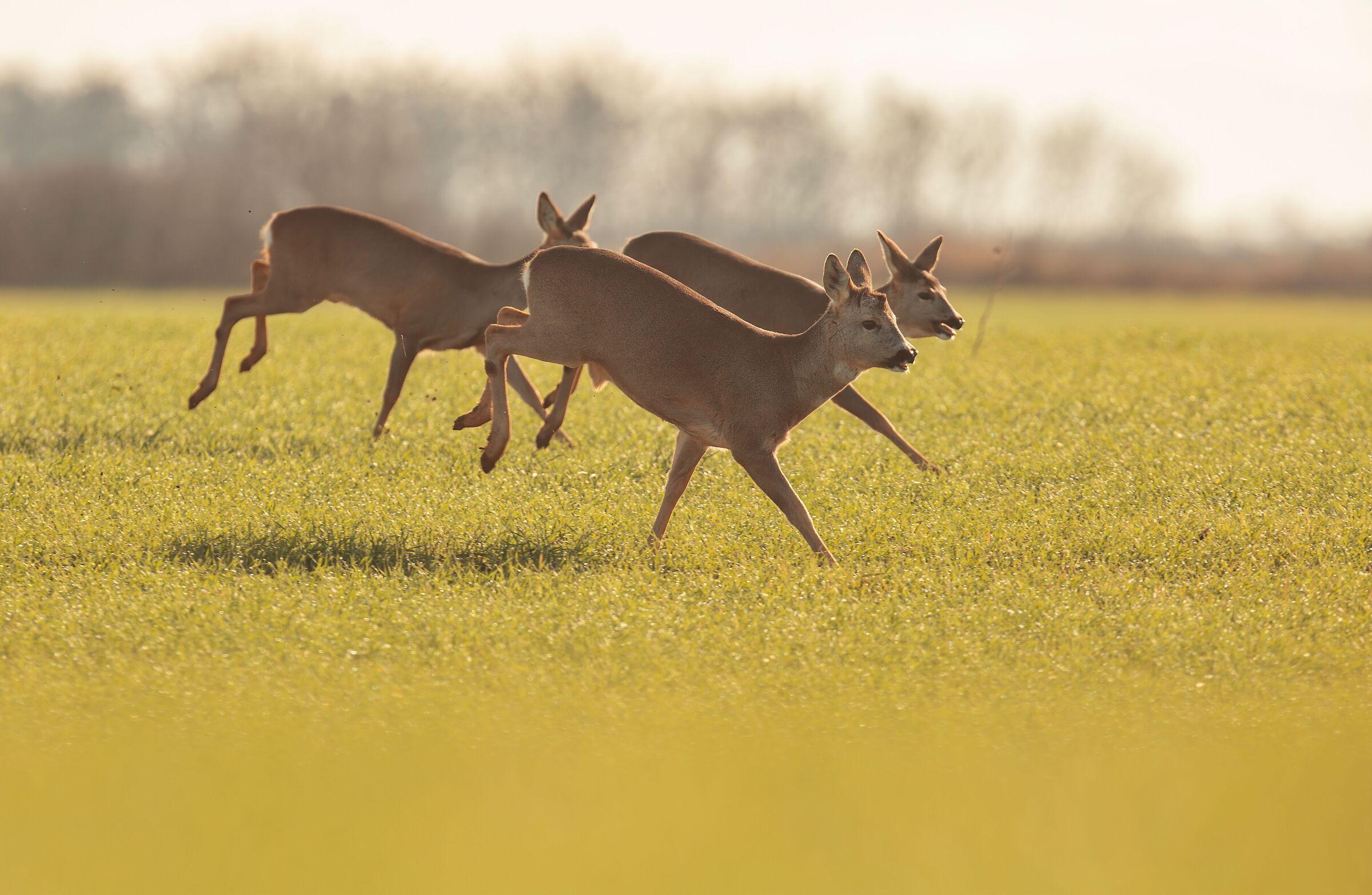 Roe deer...