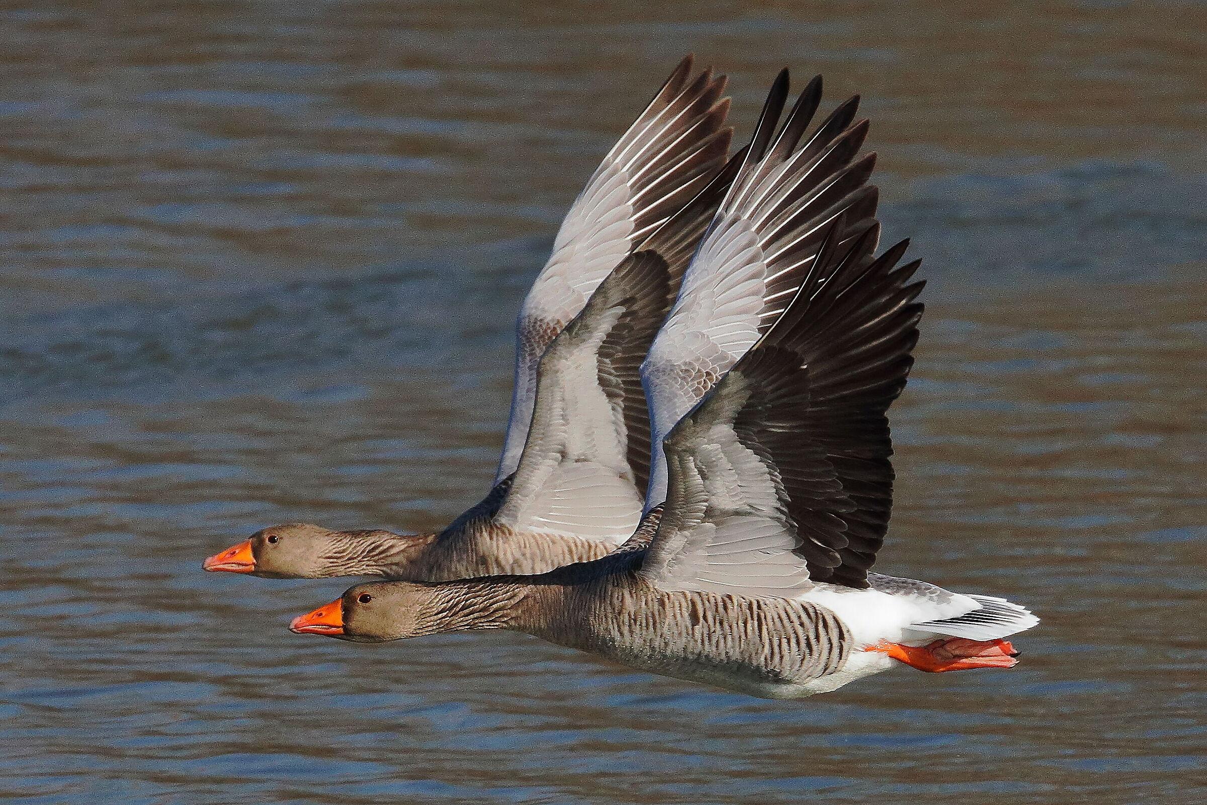 Geese in flight...