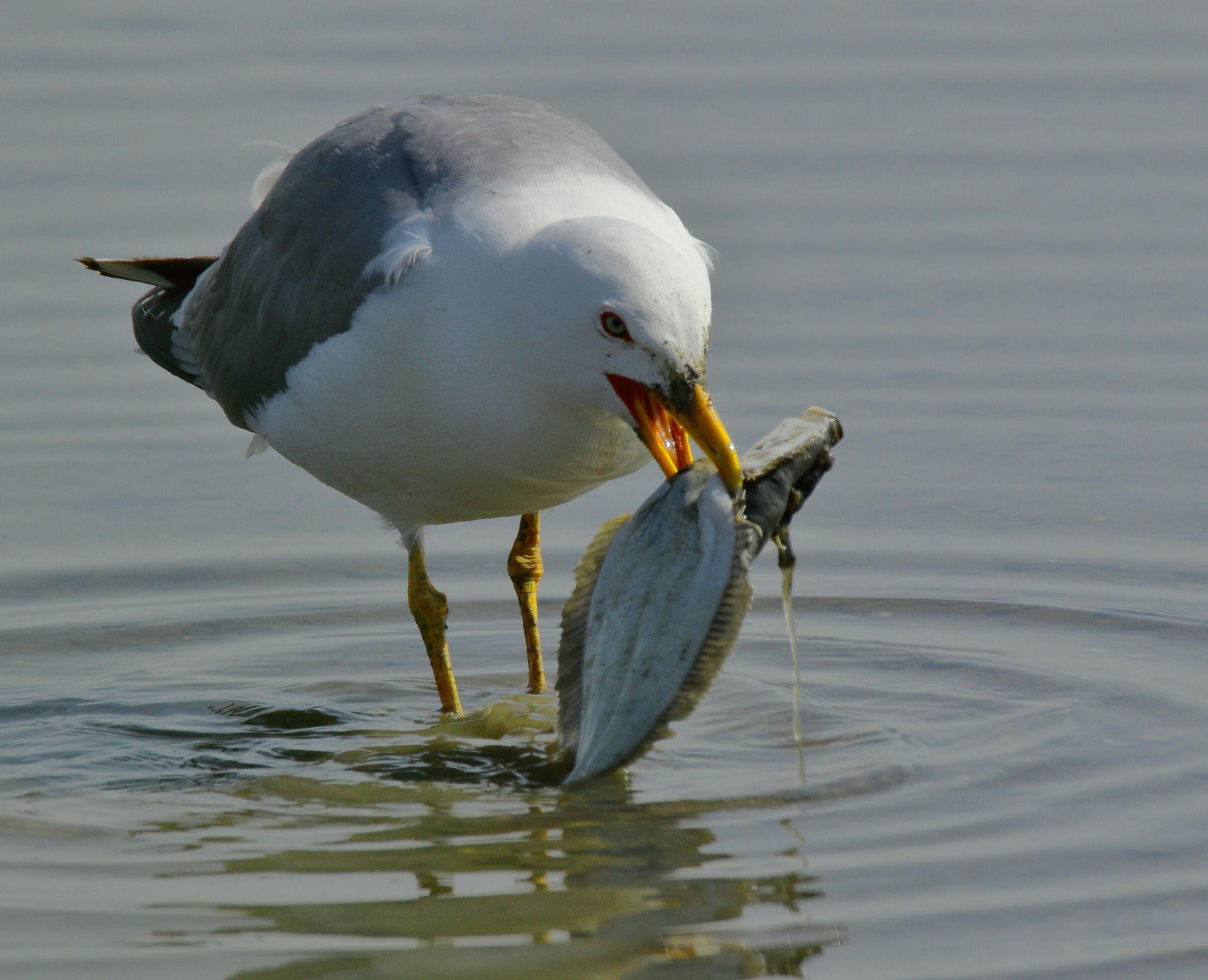Mediterranean royal seagull... Gourmet......