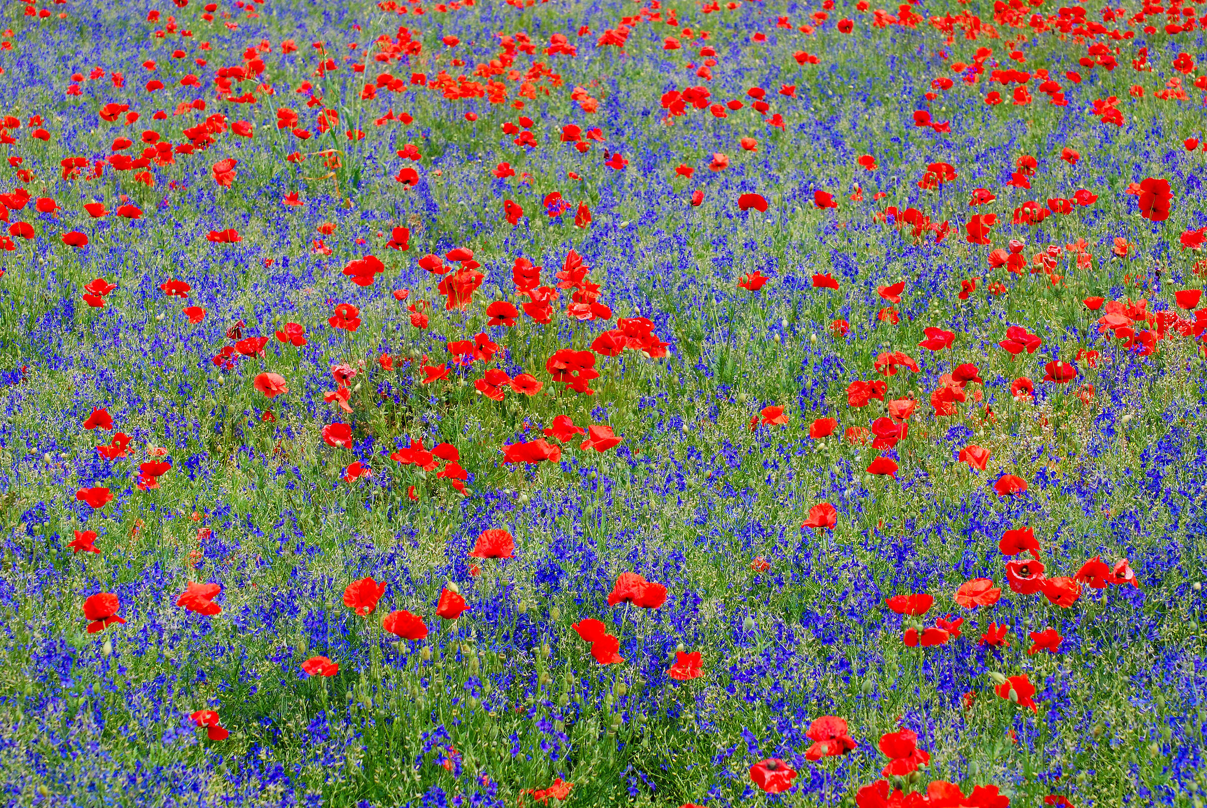 Poppies and spurs...