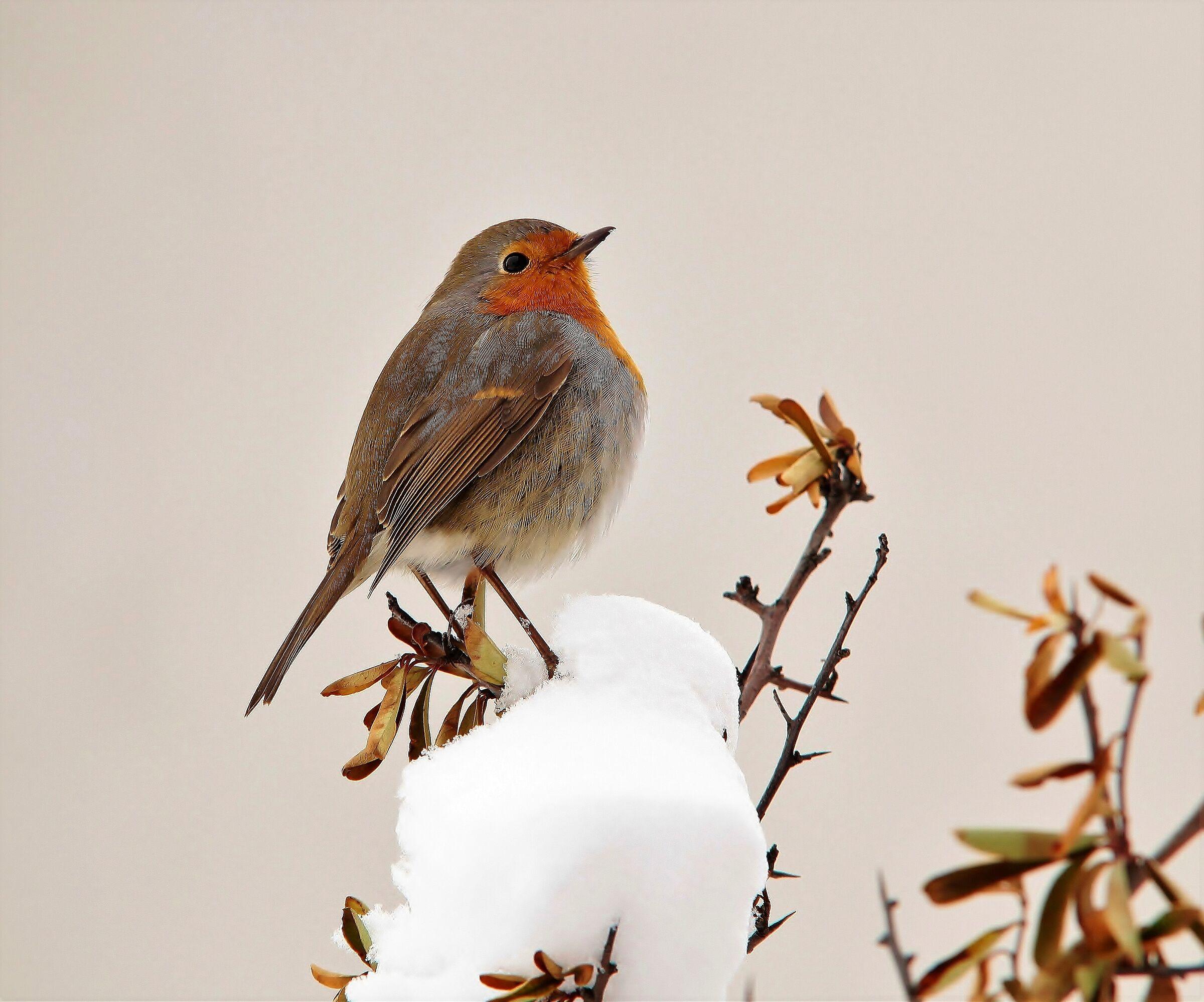 Robin for friend....