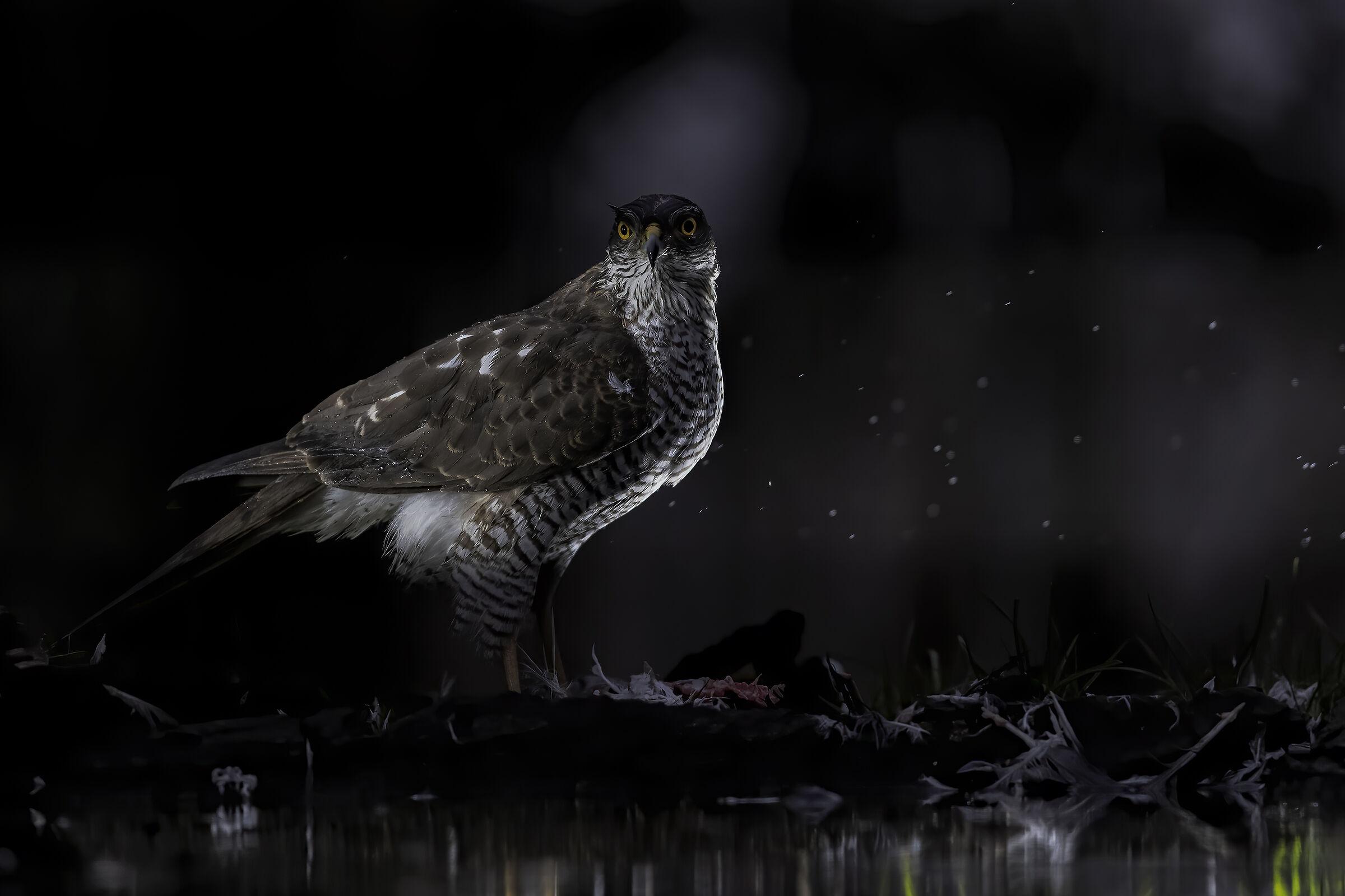 Female sparrowhawk...