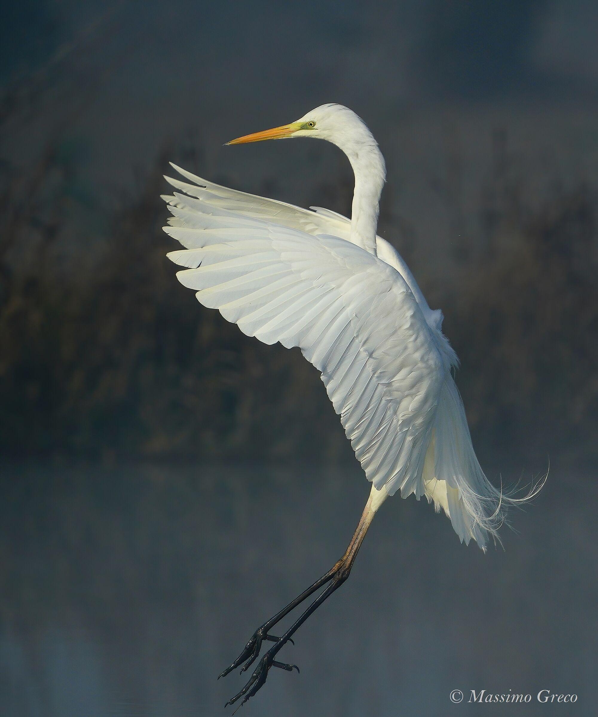 White heron i ammaraggio...