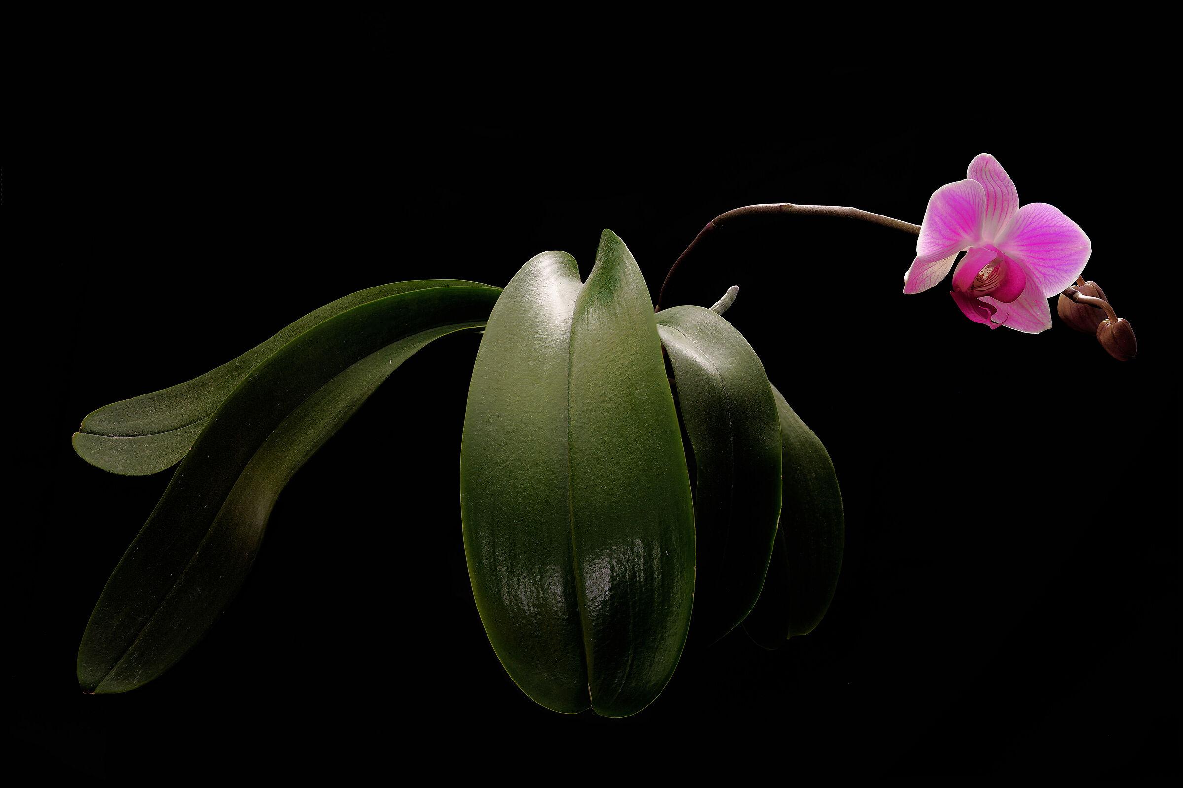 Phalaenopsis...