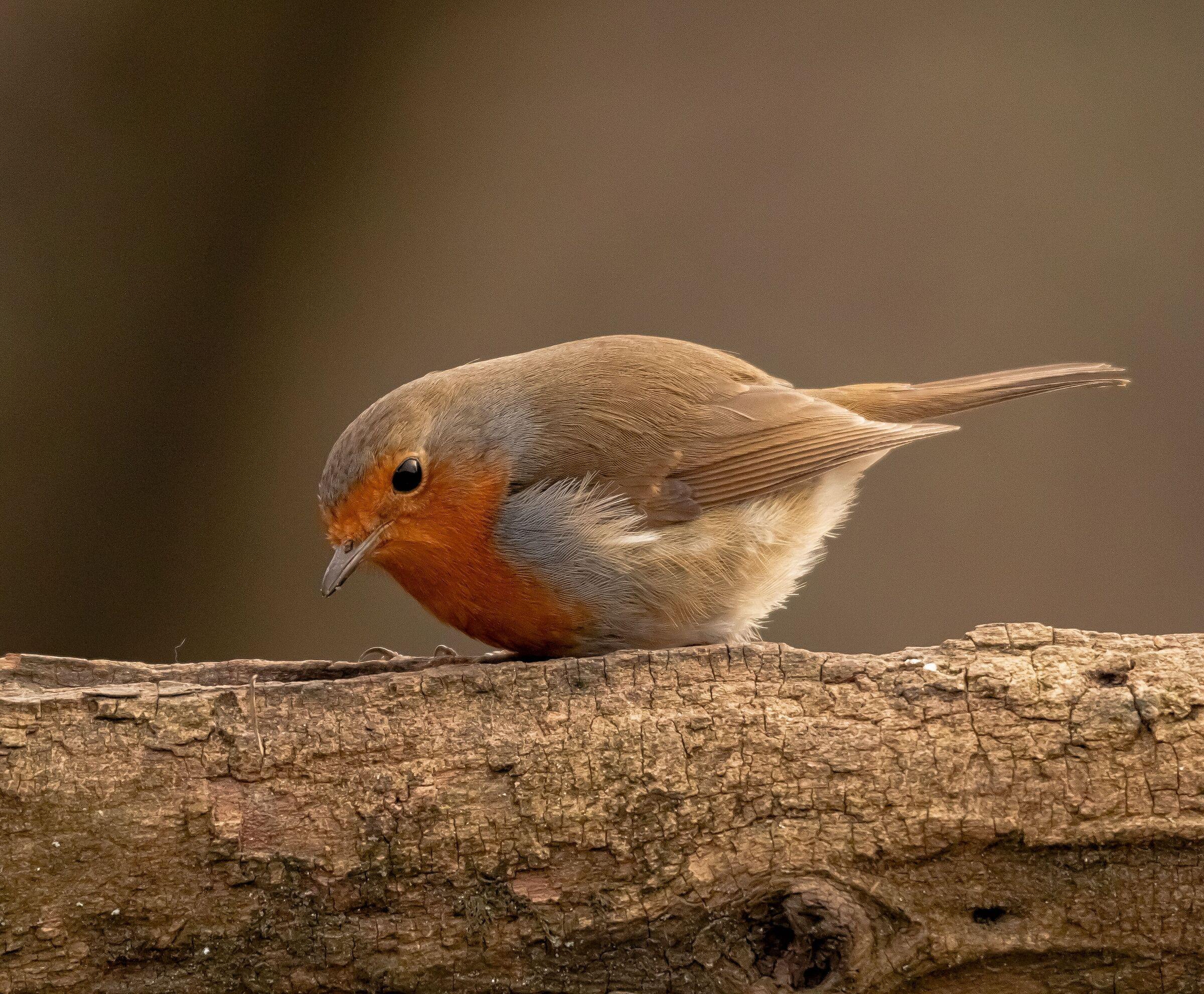 European male robin 21/02/2021...