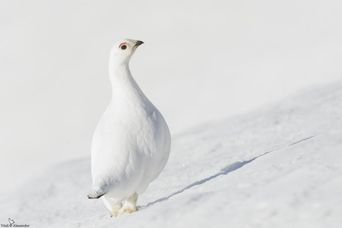 White partridge...