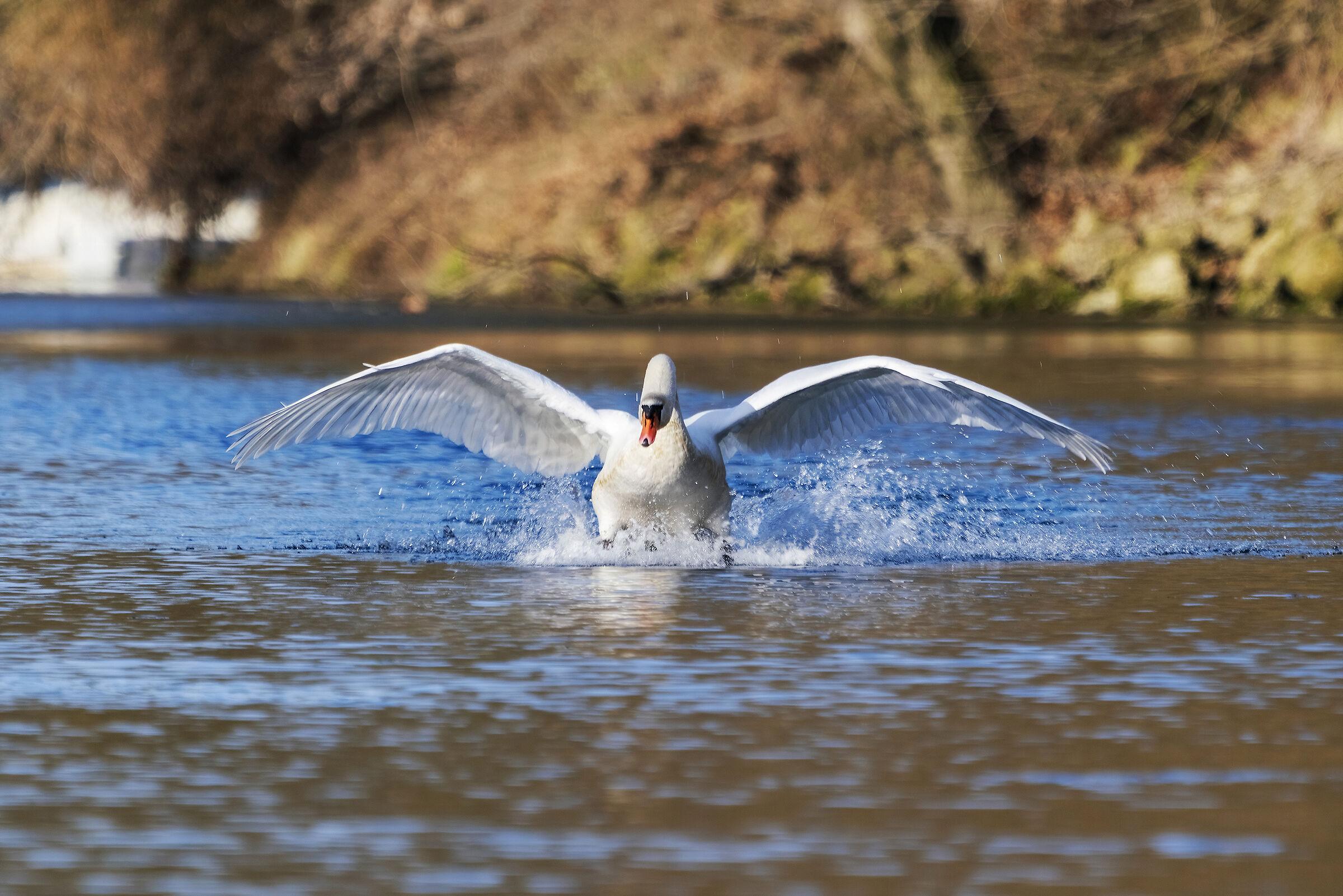 Swan in swamp...