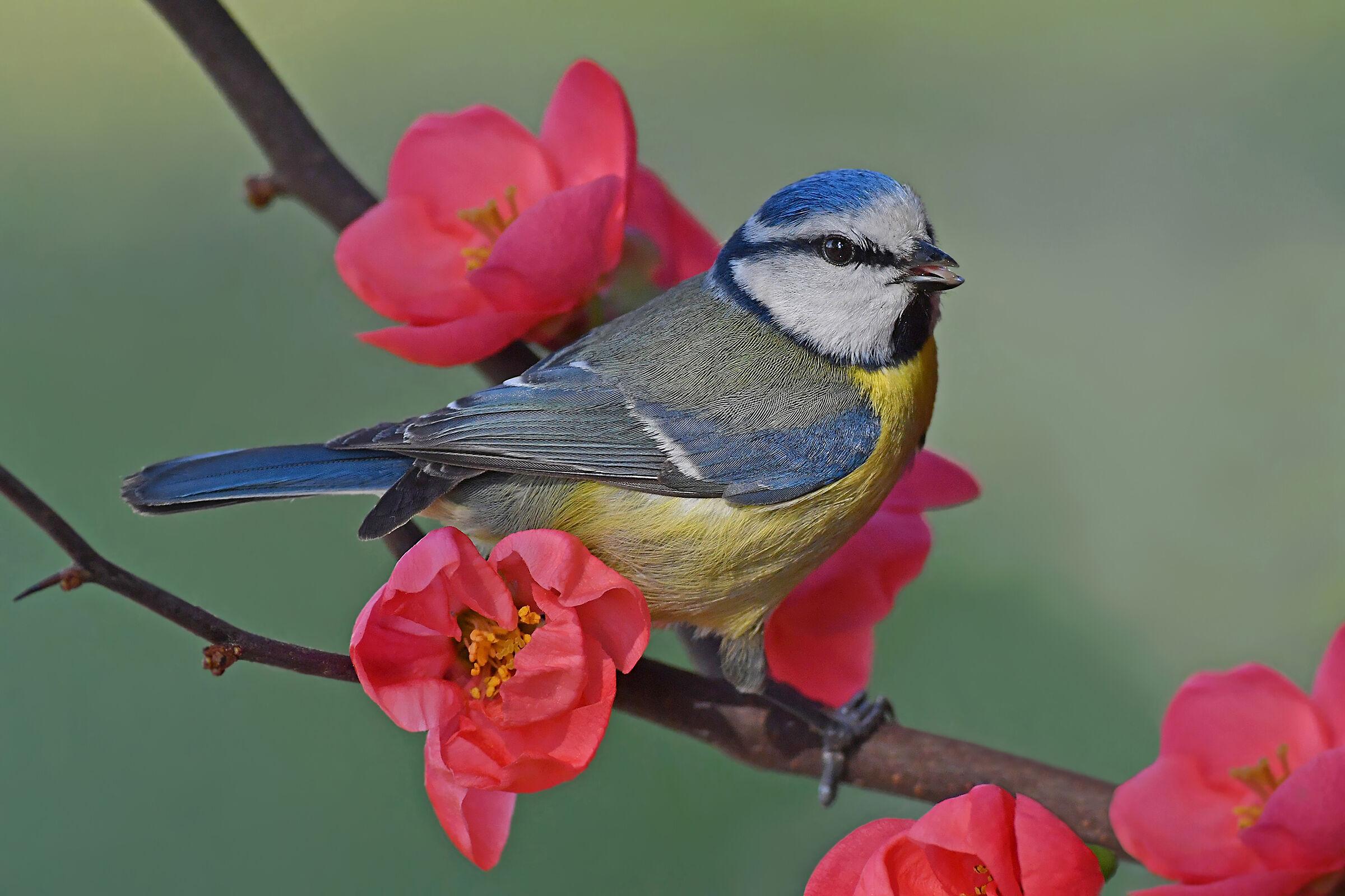 sweet spring (Cinciarella)...