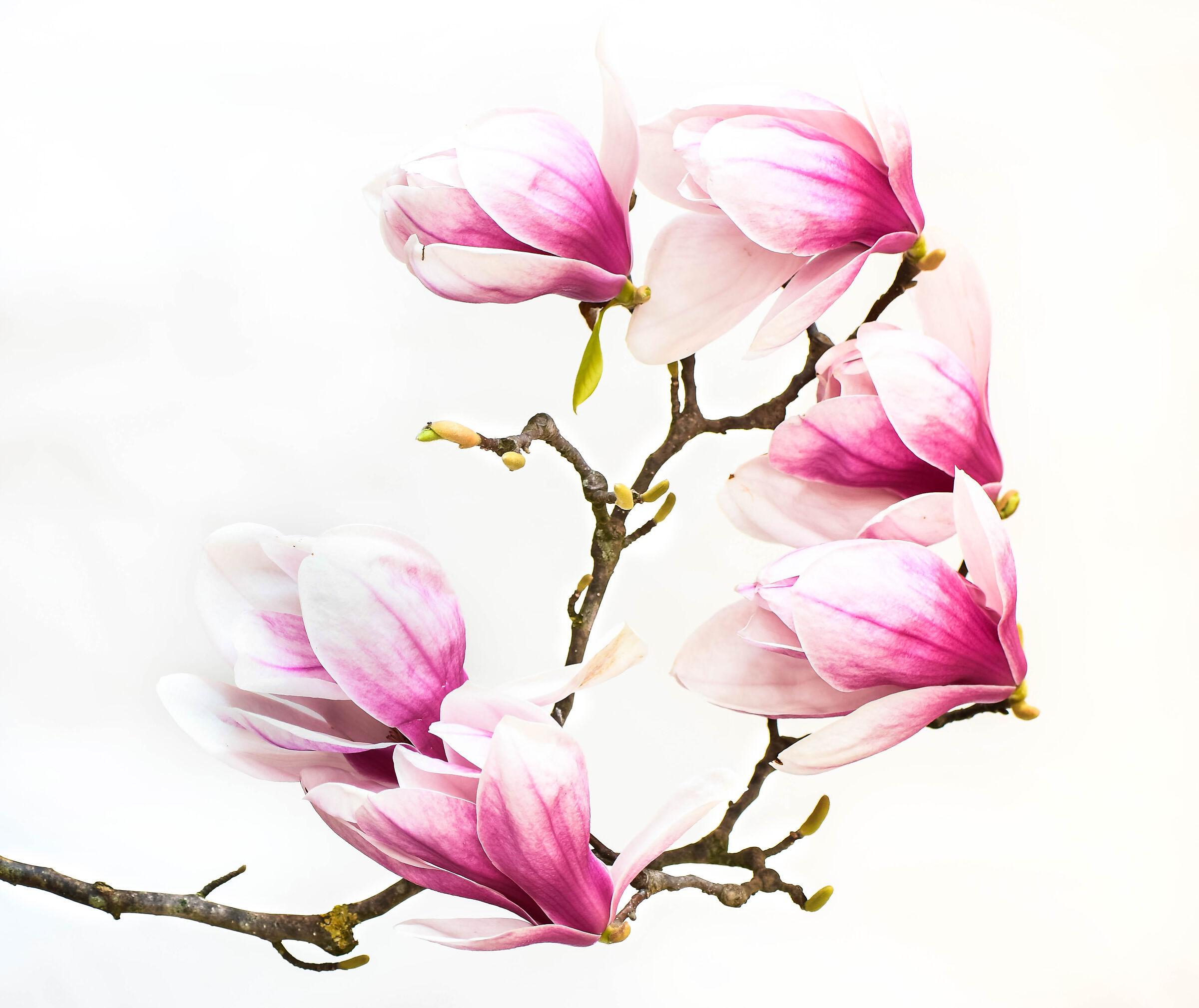 Magnolia in bloom....