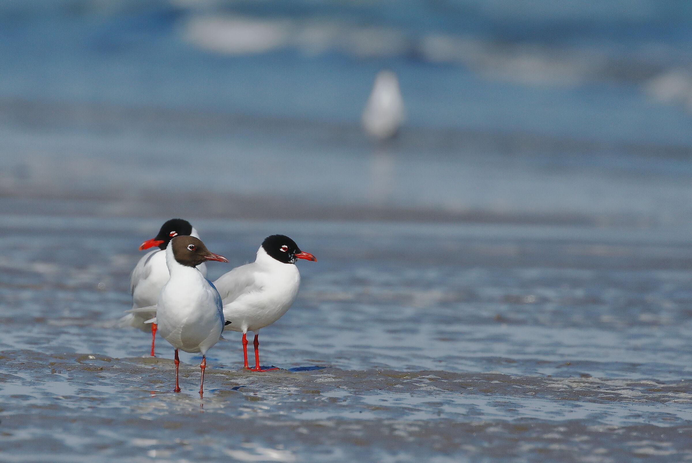 Coral gulls and a municipality...