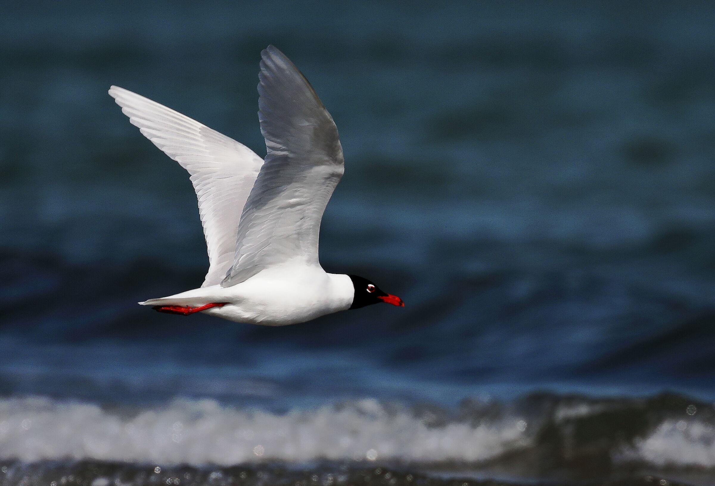 Coral gull in flight....