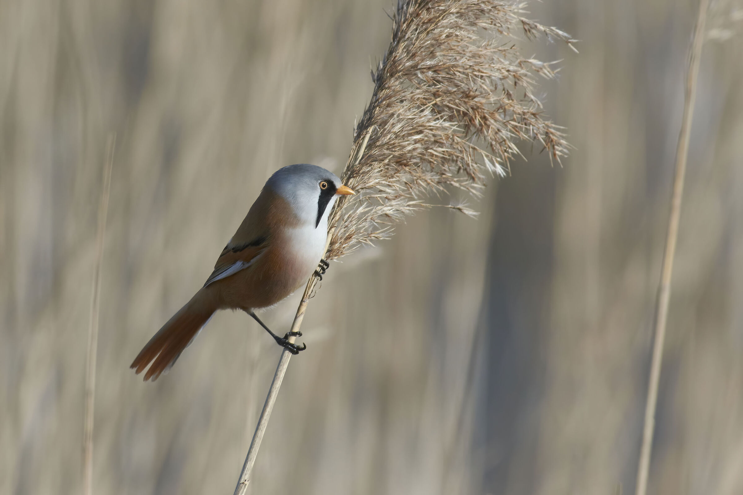 Bearded Reedling...