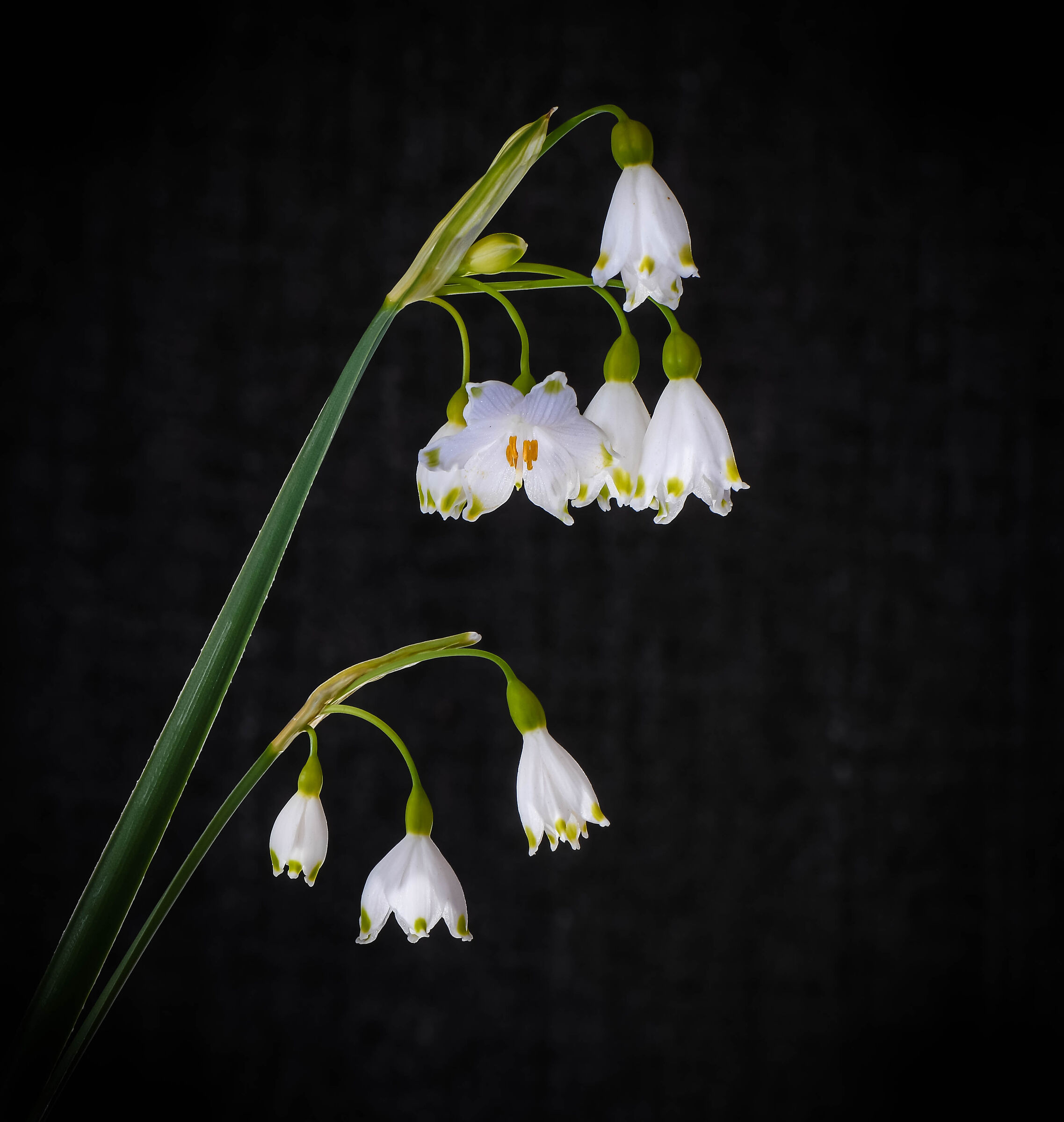 Bells, or Fake Snowdrops....