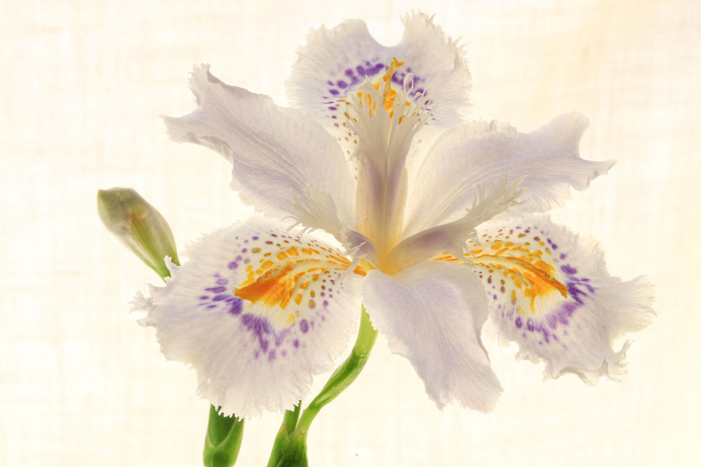 un candido iris...