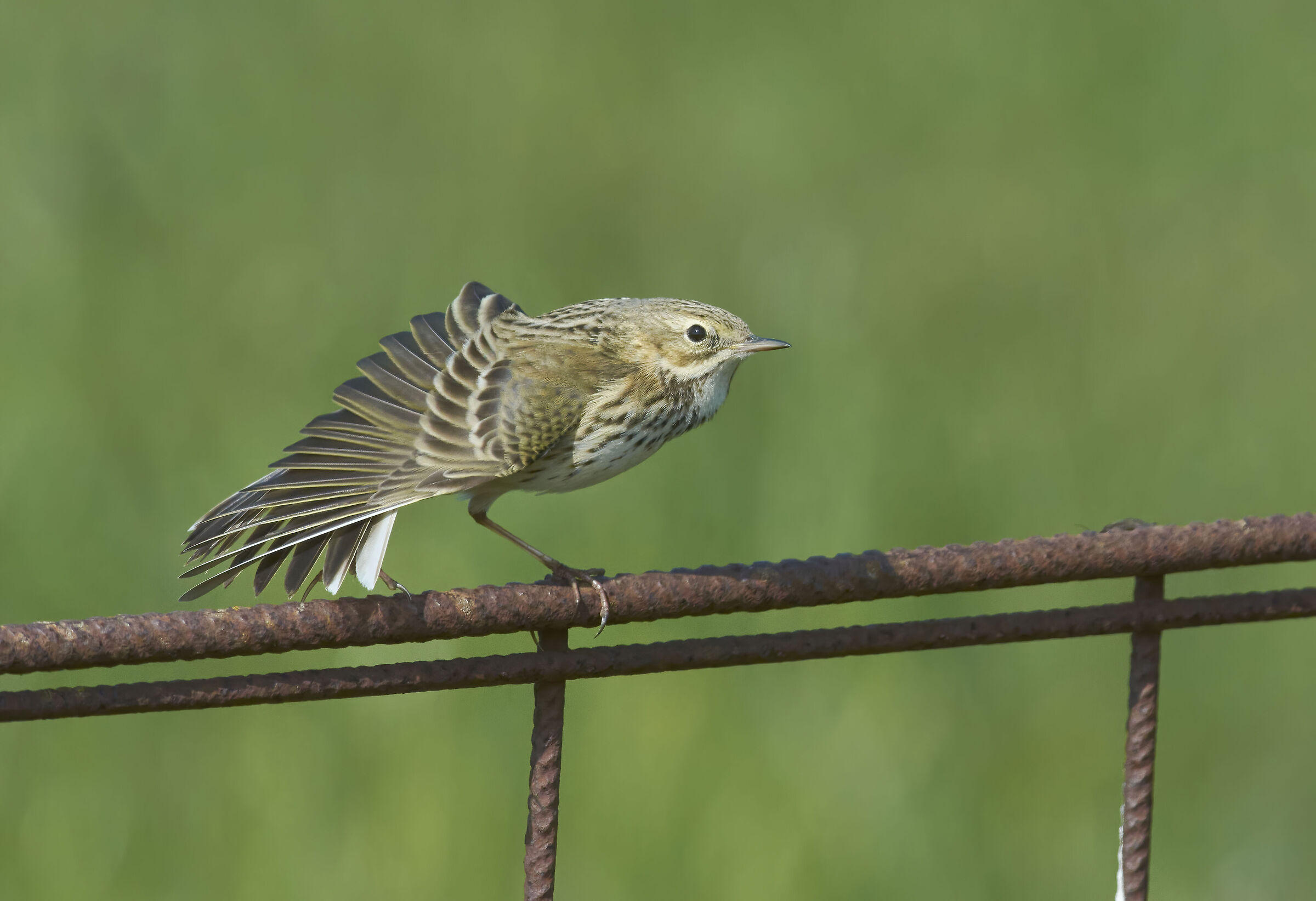 Meadow Pipit...