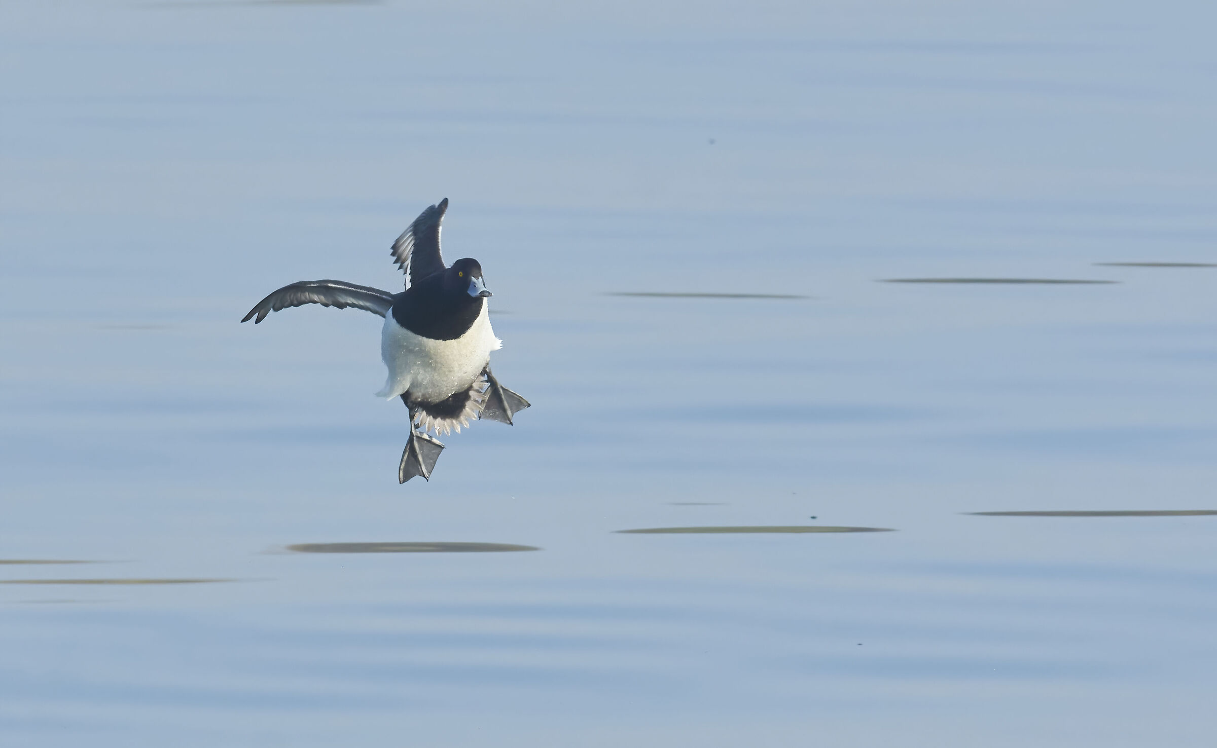 Tufted duck...