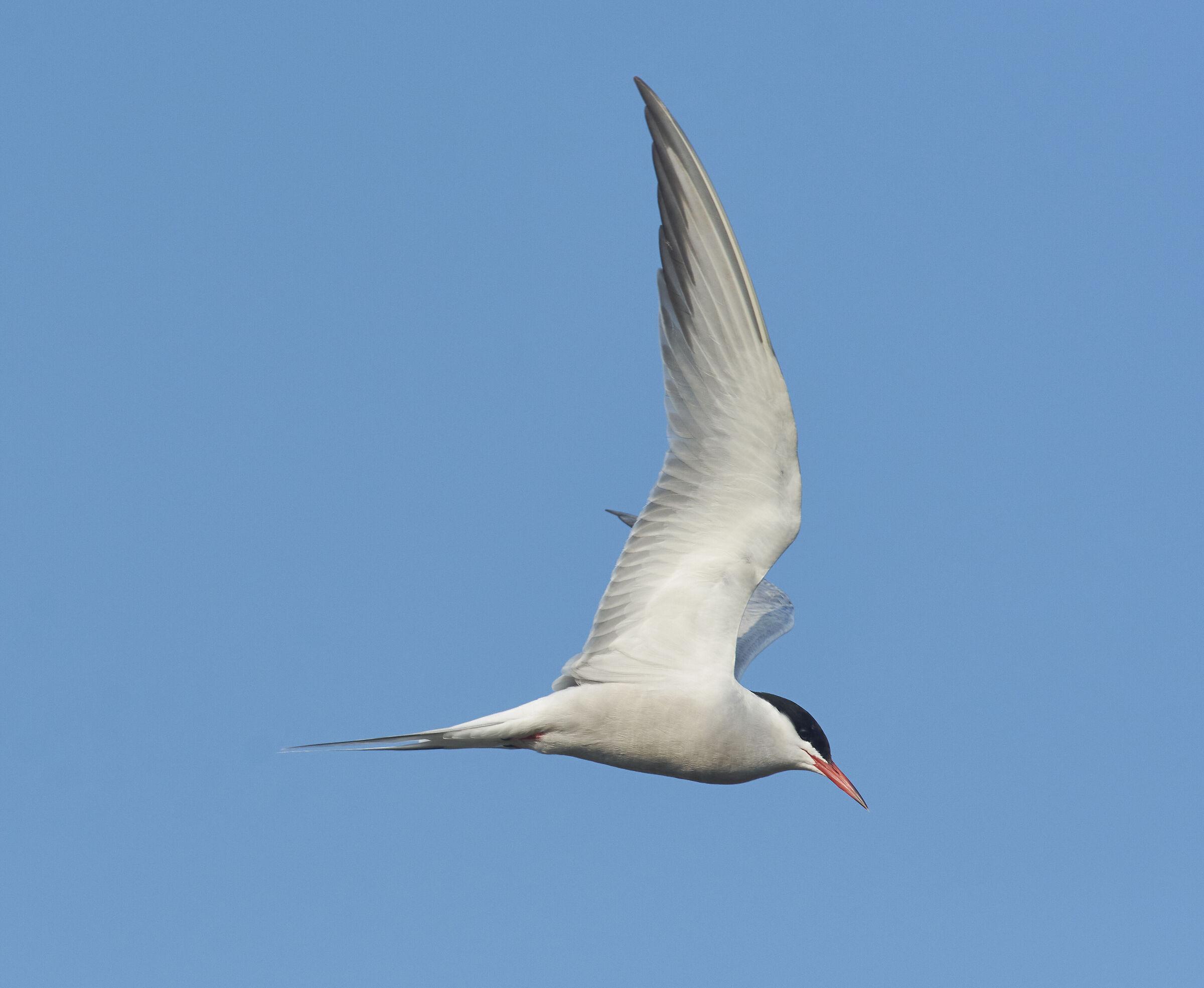 Common Tern...