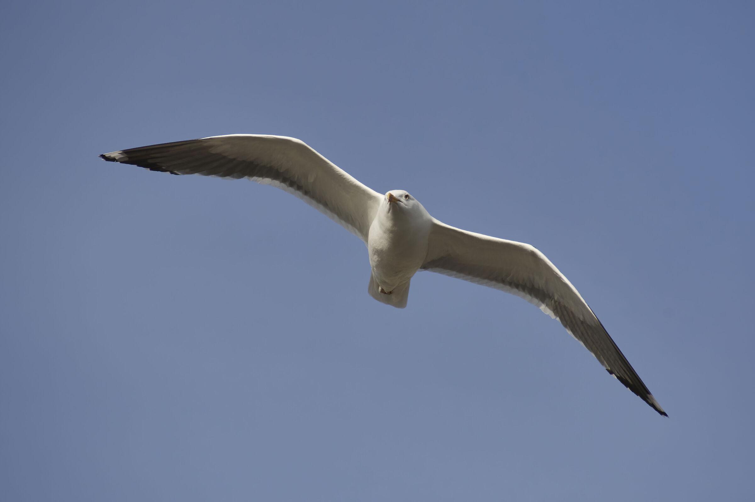 Lesser blackbacked gull...