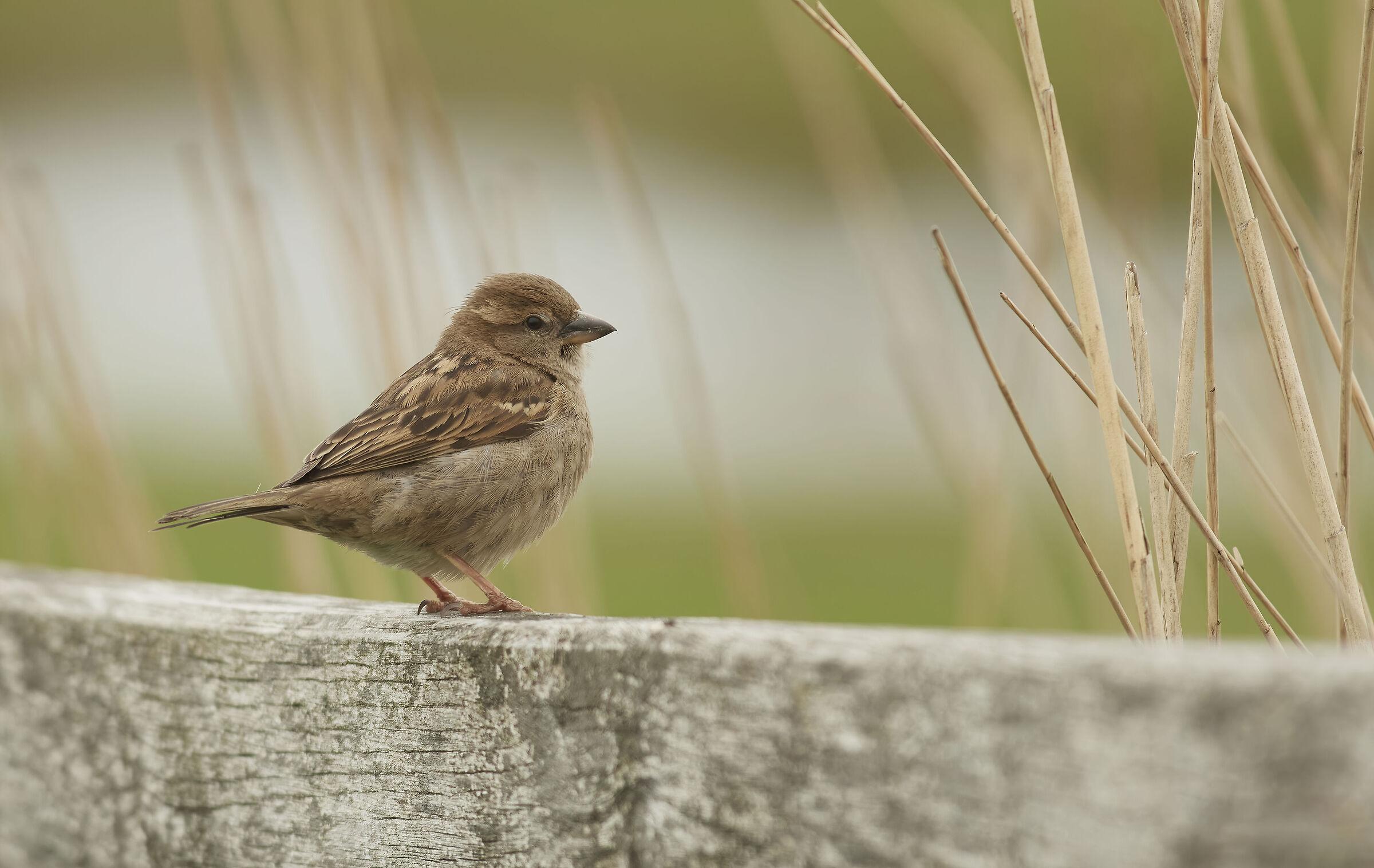House Sparrow...