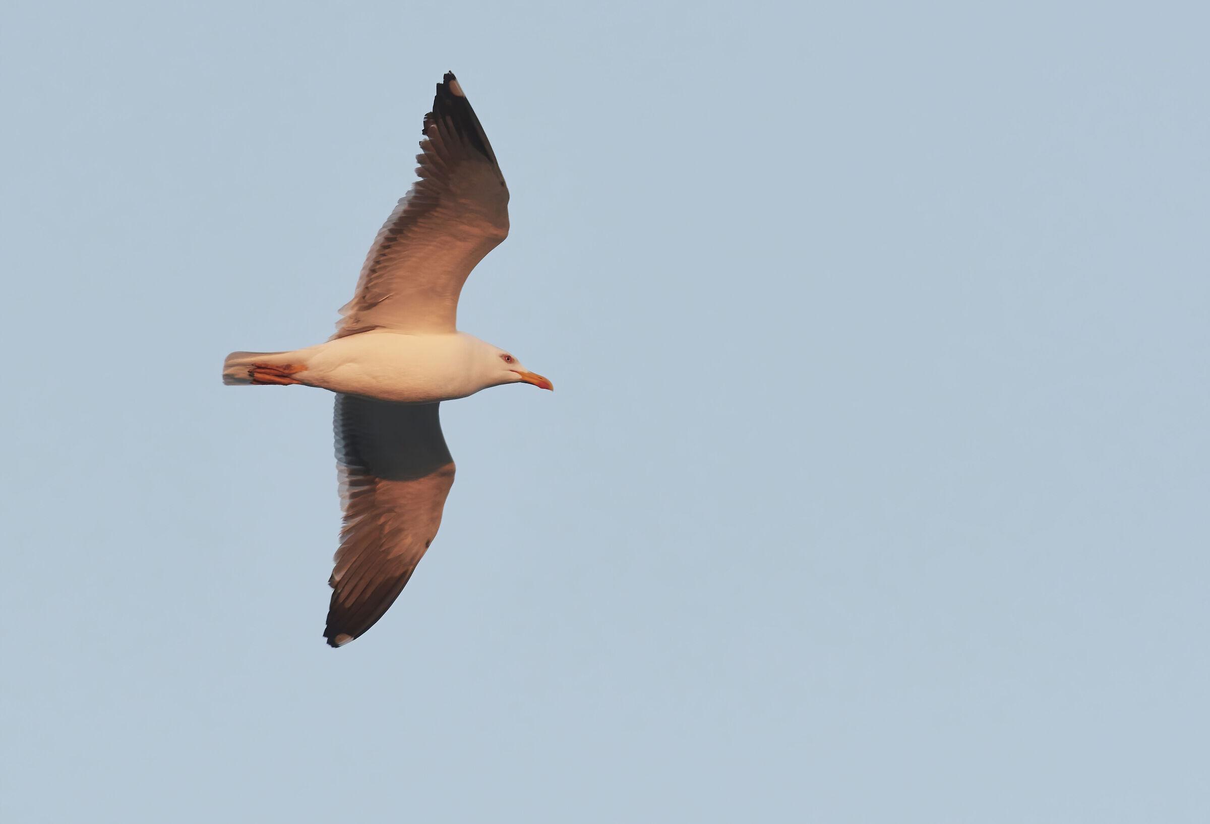 Lesser blackbacked gull at sunrise...