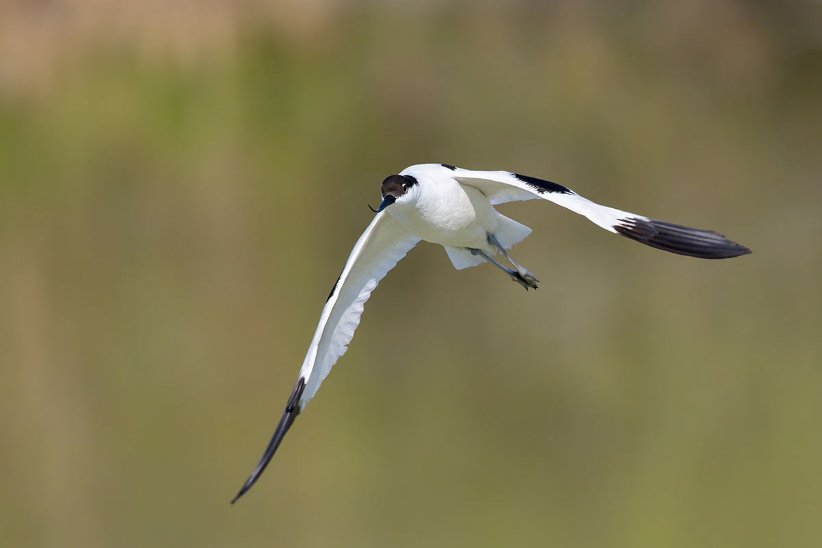 my first Avocet...