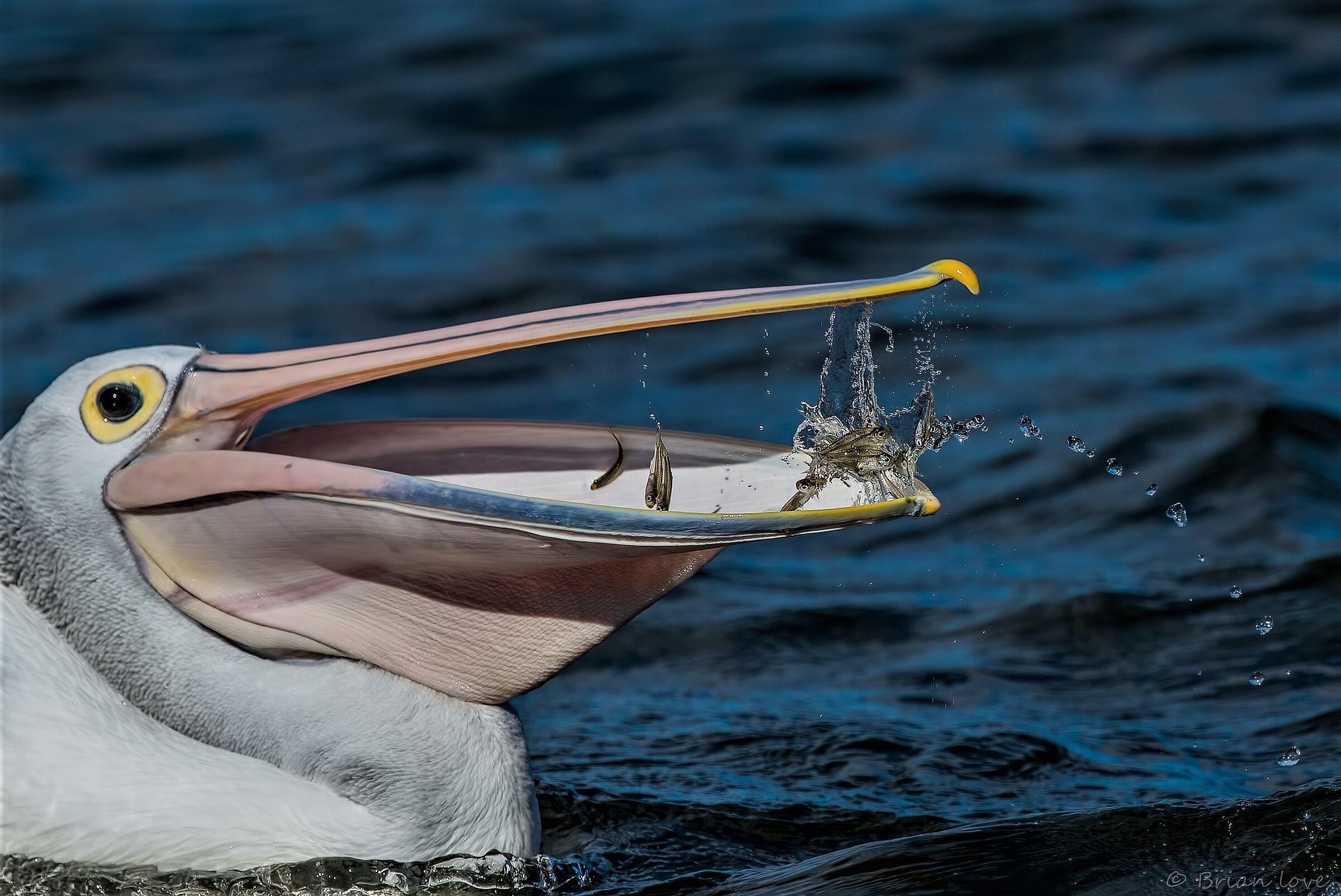 Australian pelican (Pelecanus conspicillatus)...