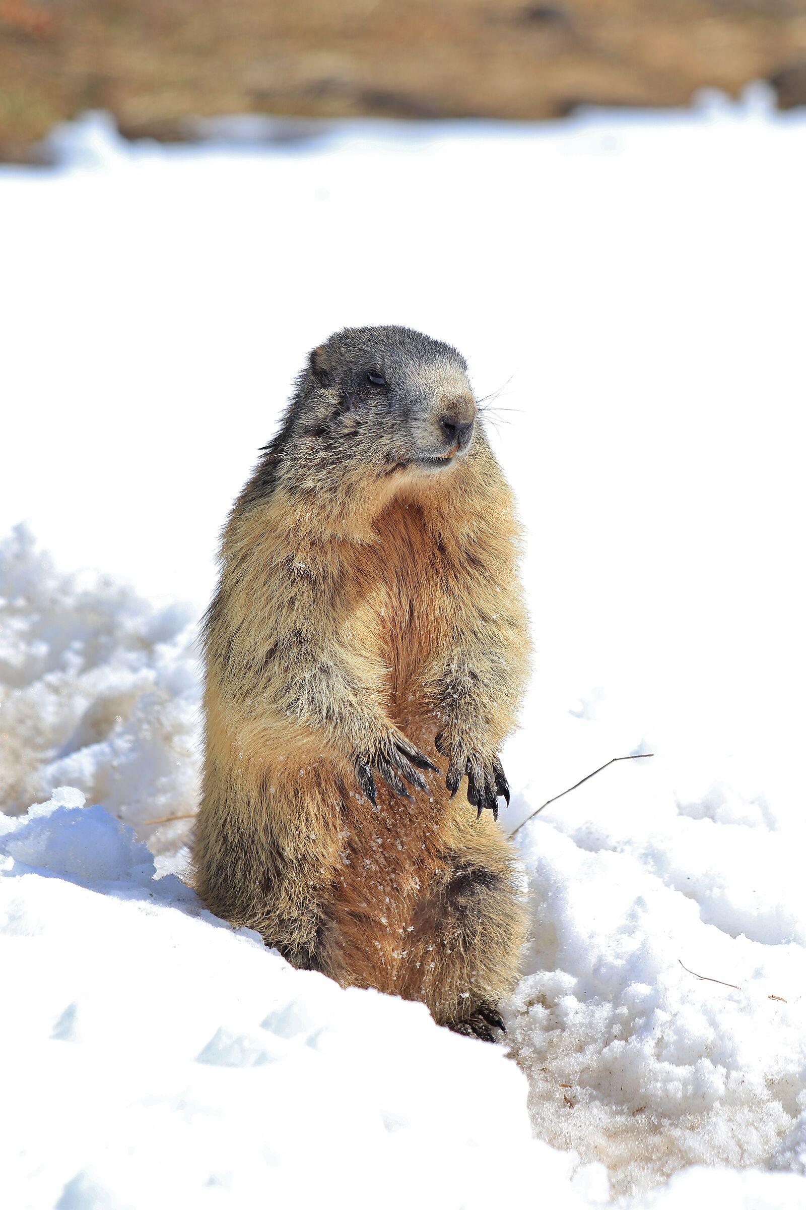 Marmota...