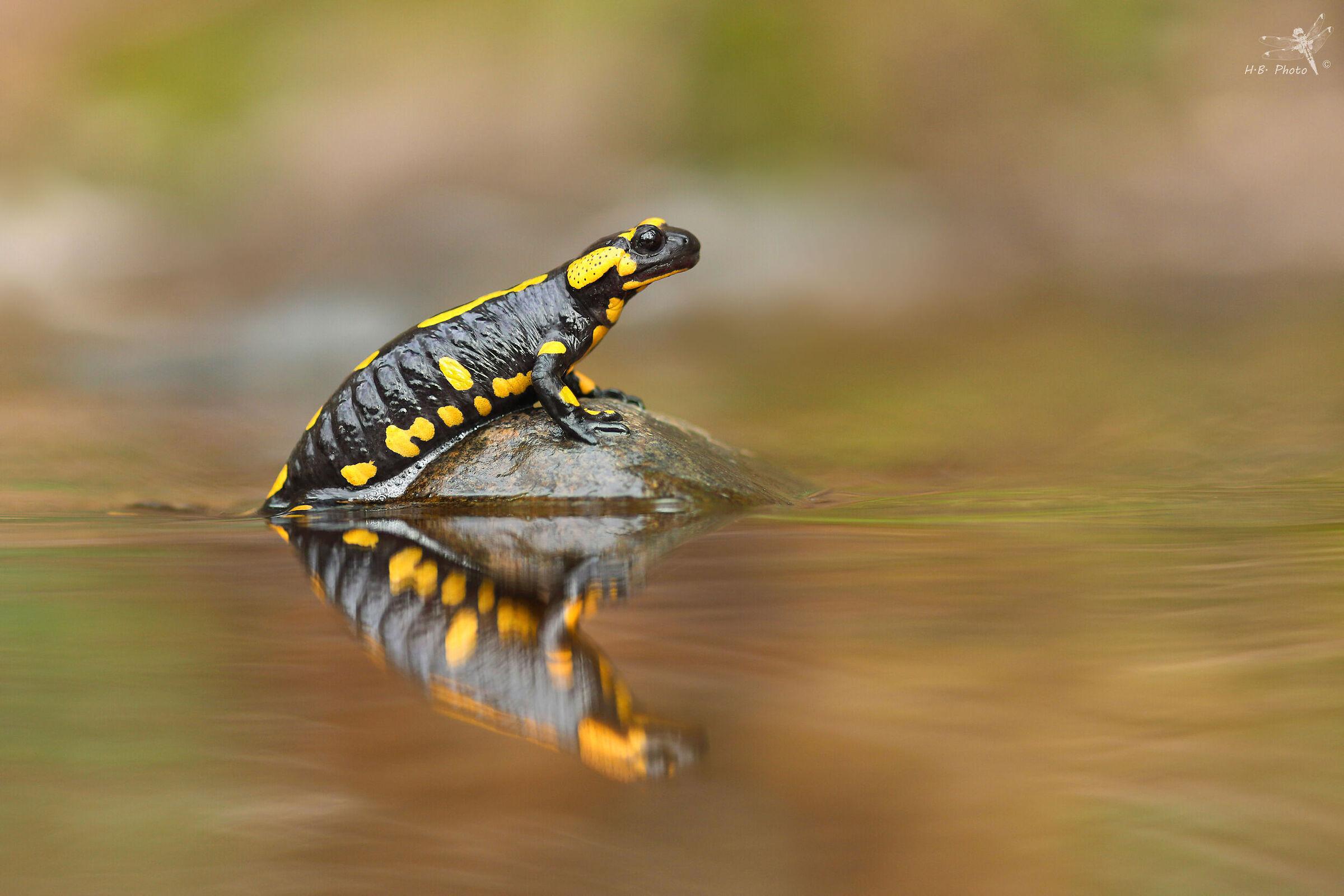 Salamadra salamandra...