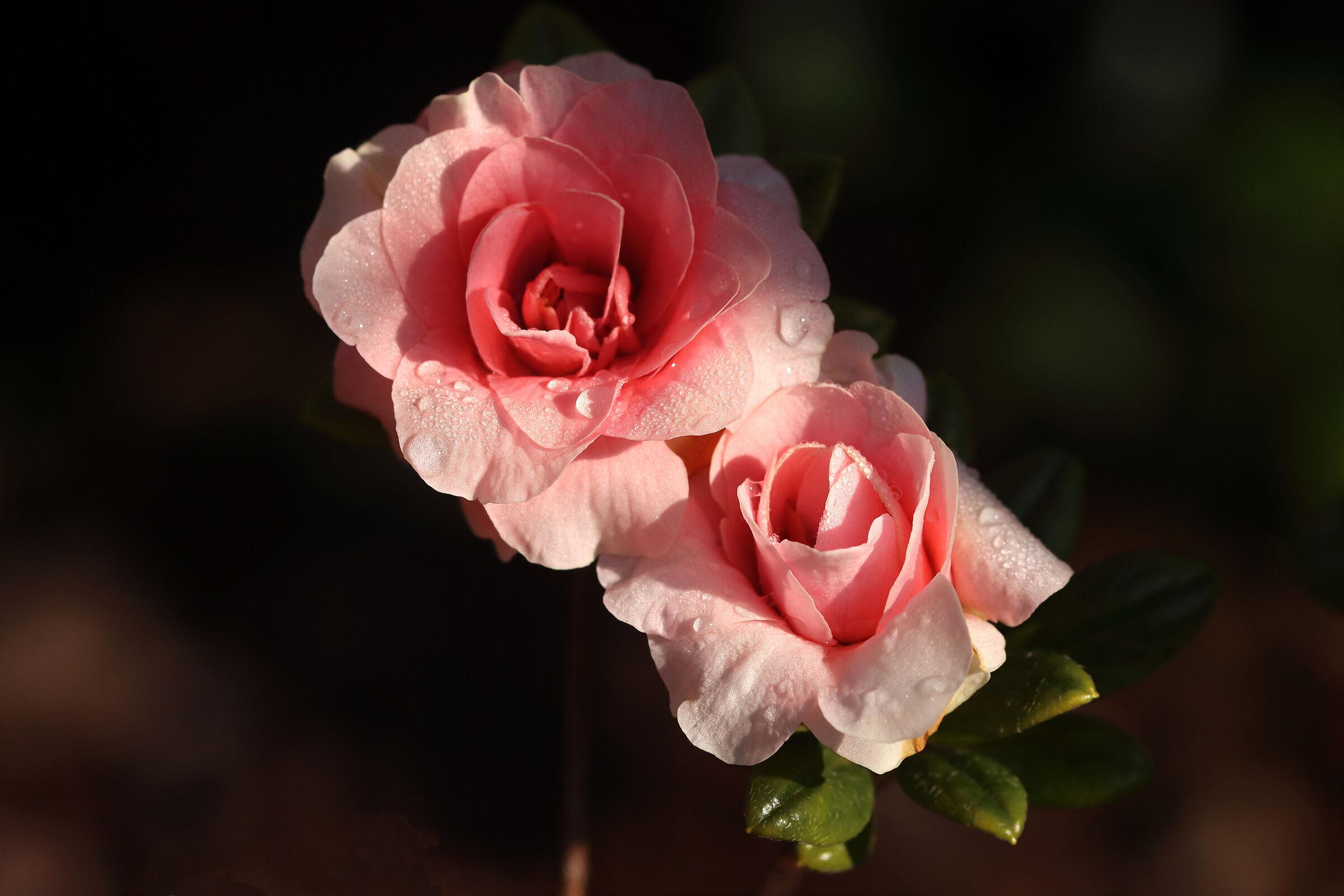 azalee - come rose -...