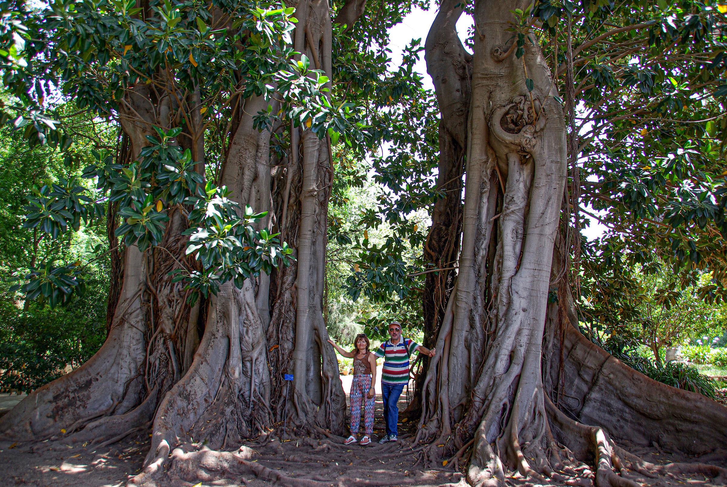 Ficus Magnolioides ...