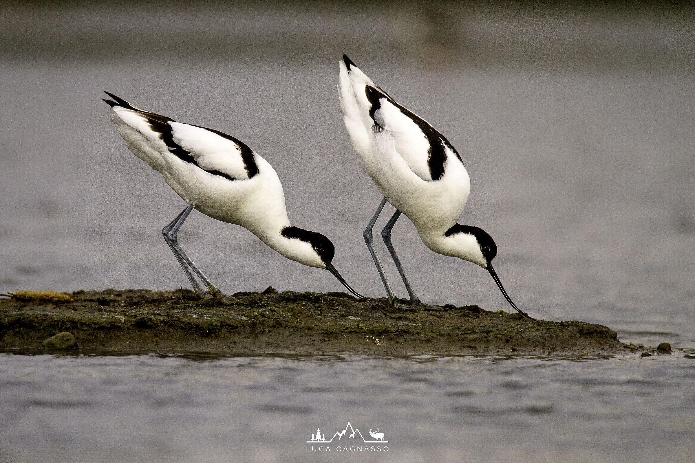 Swamp avocets...