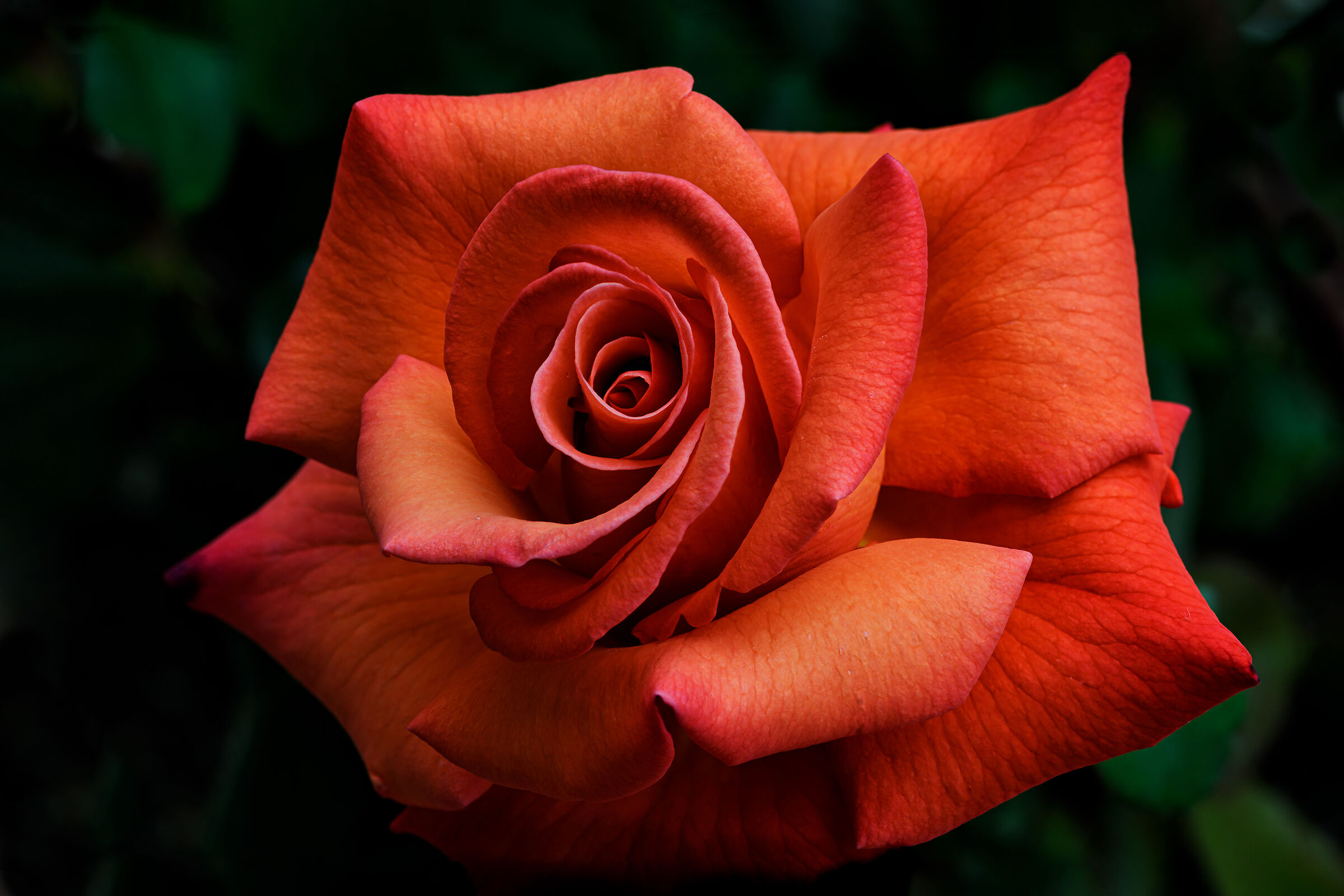 The first rose in my garden...