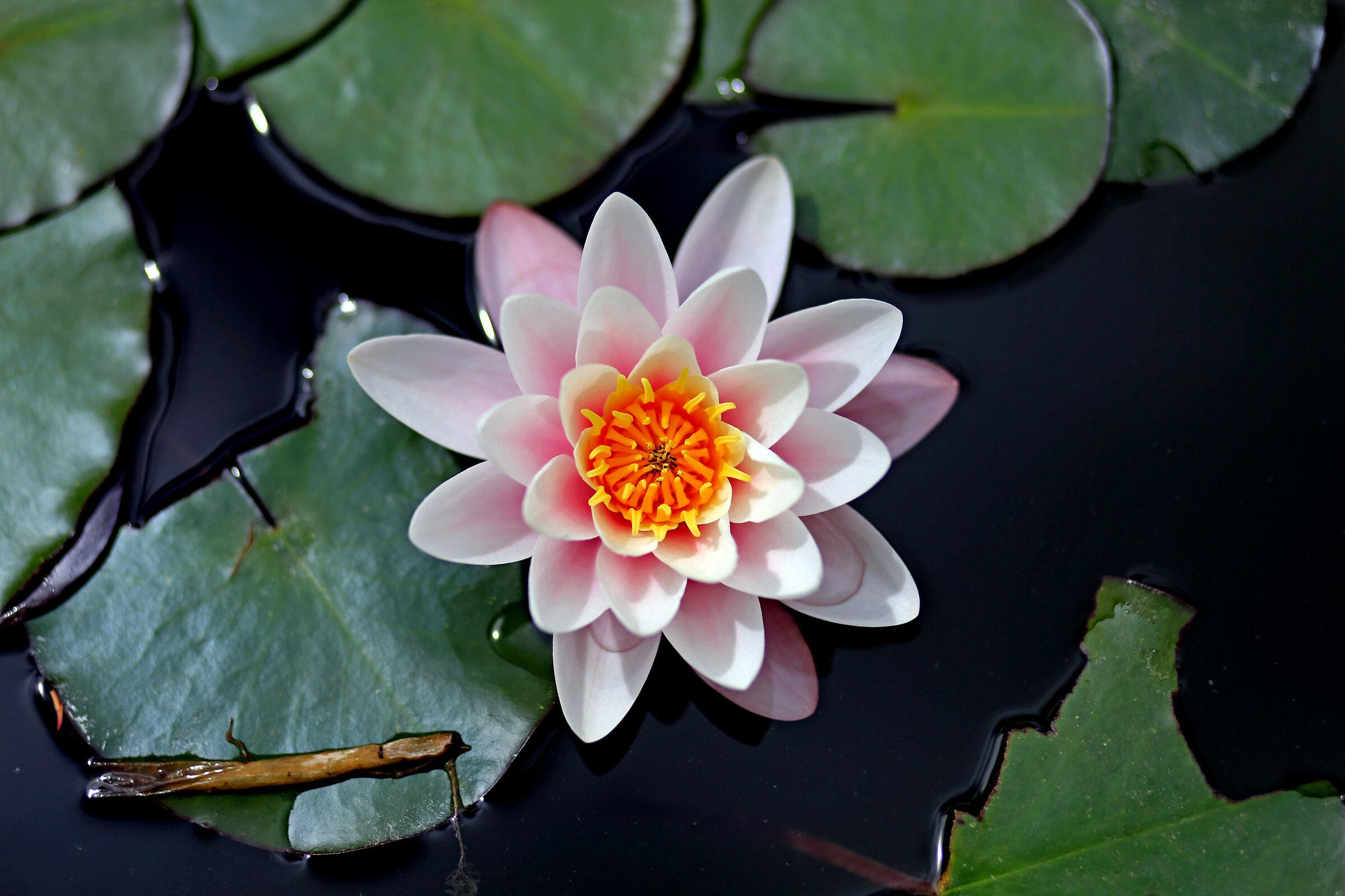 il fiore della Ninfea...