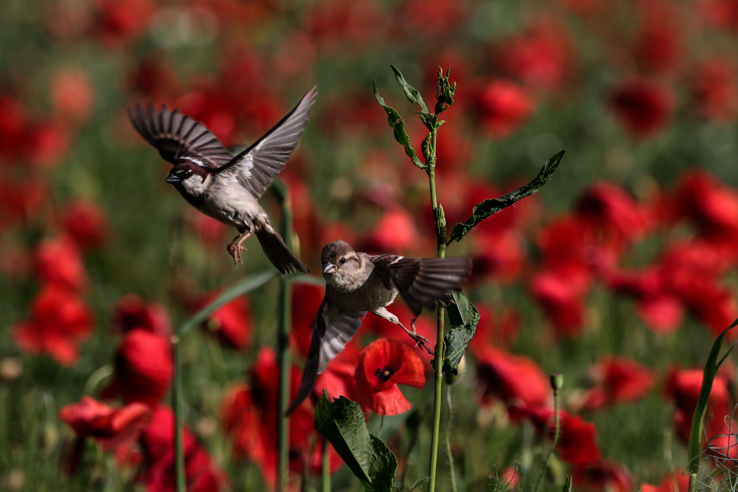 Poppies and Sparrows...