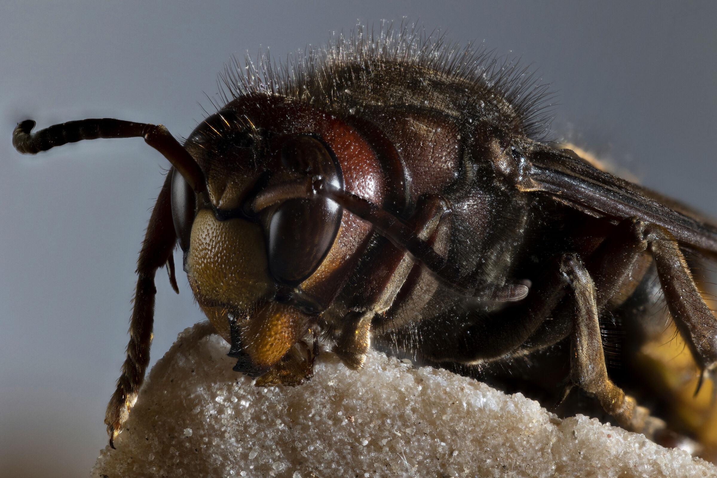 European hornet 03...