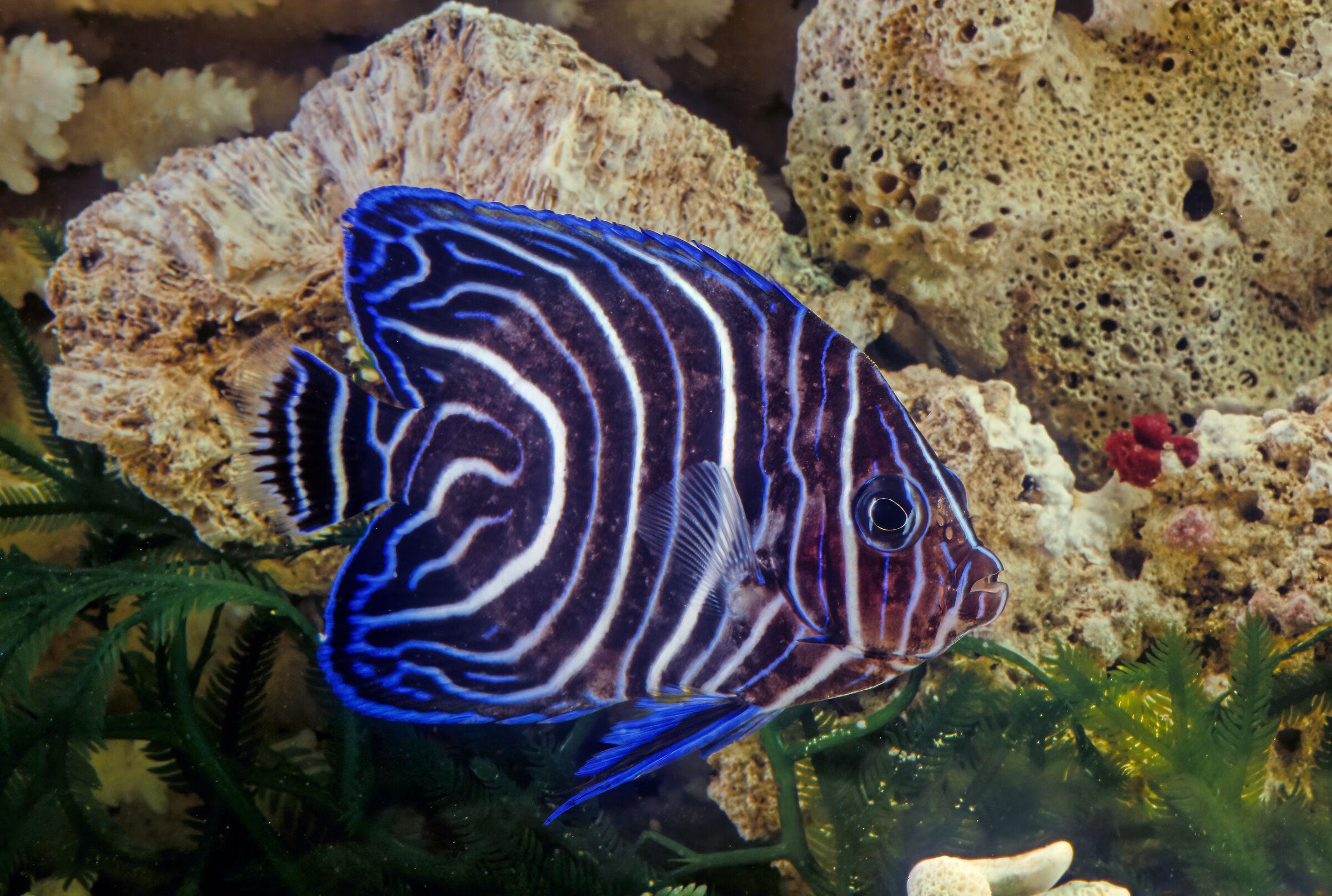 Emperor angelfish...