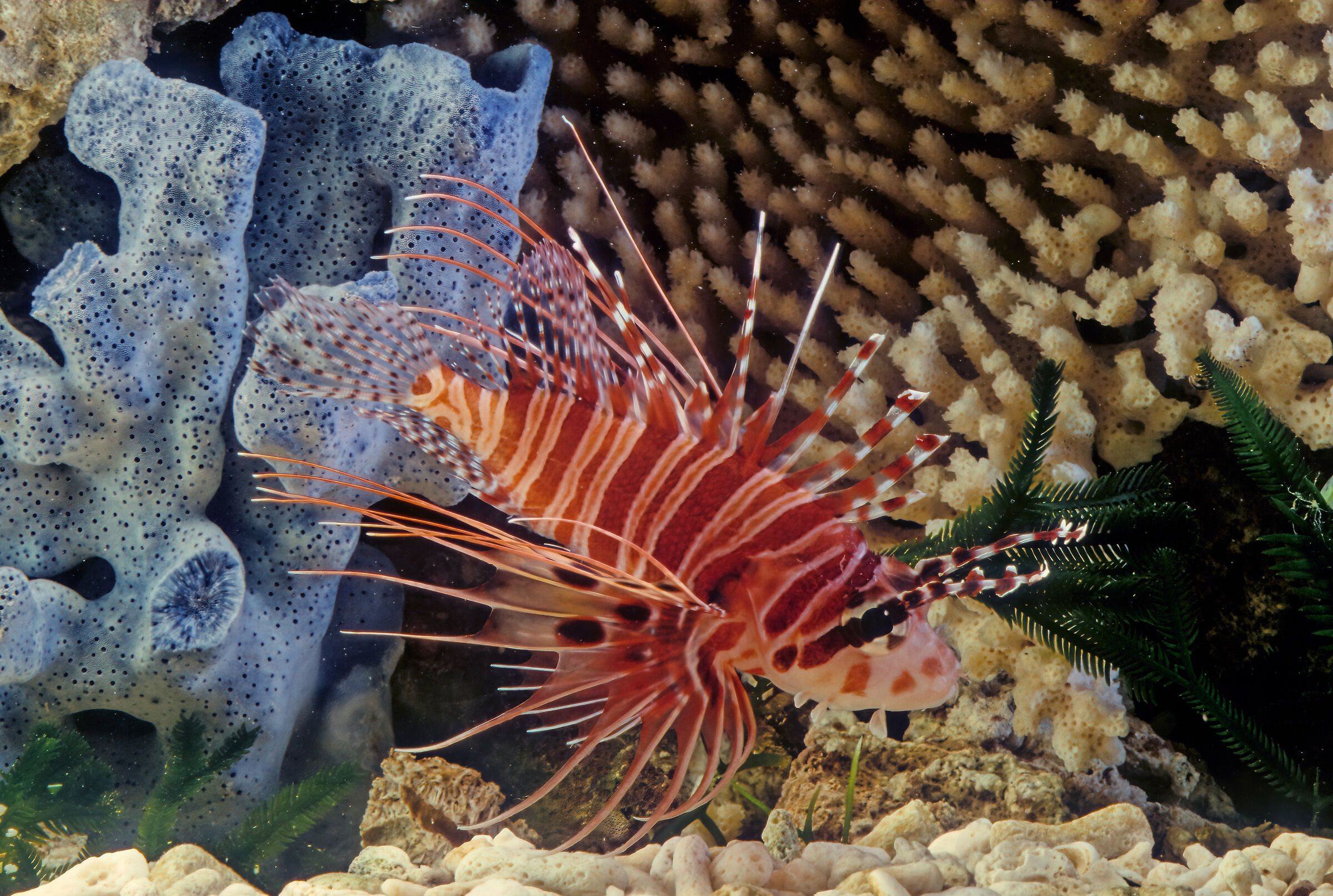 Spotfin lionfish...