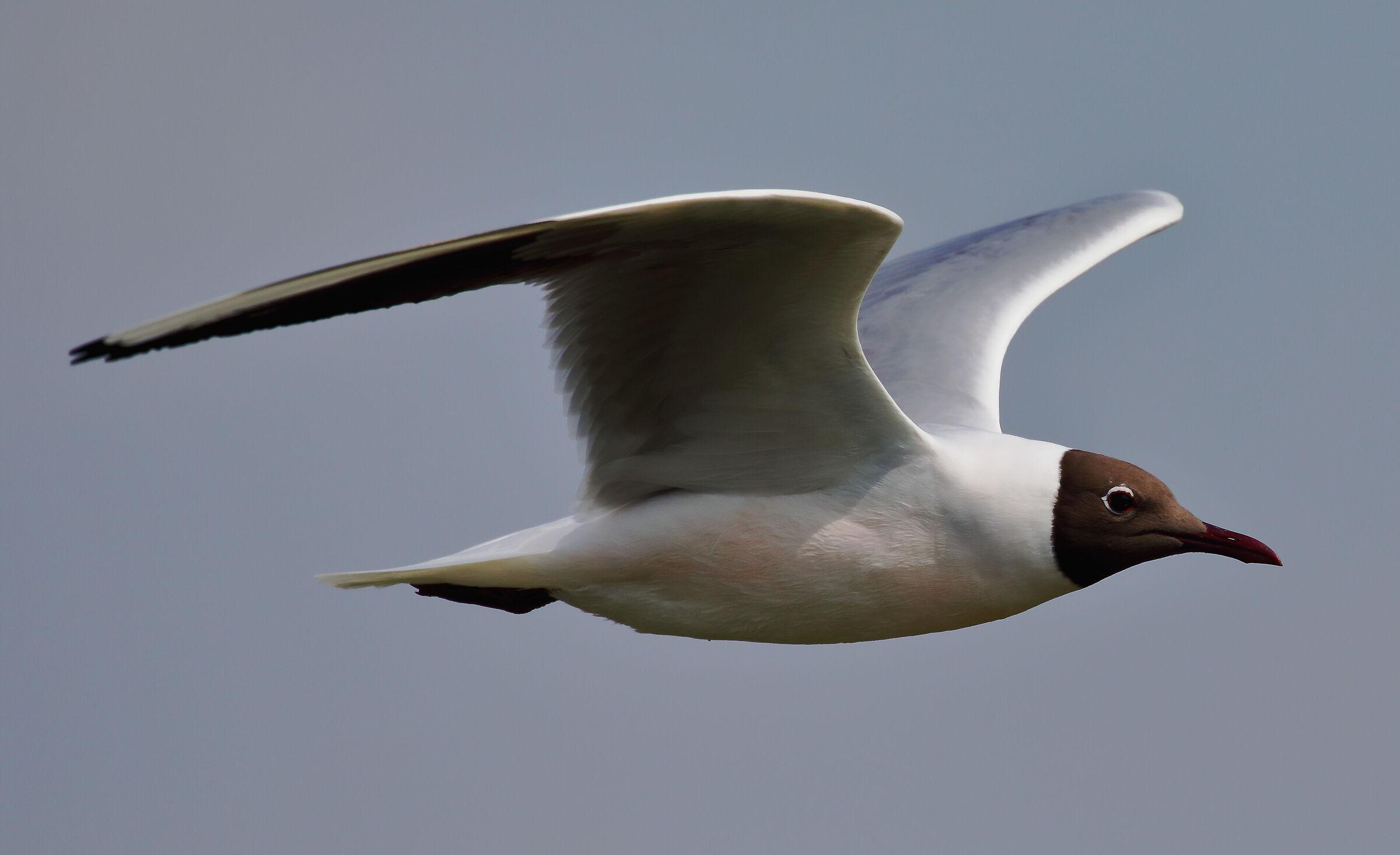 Common gull...