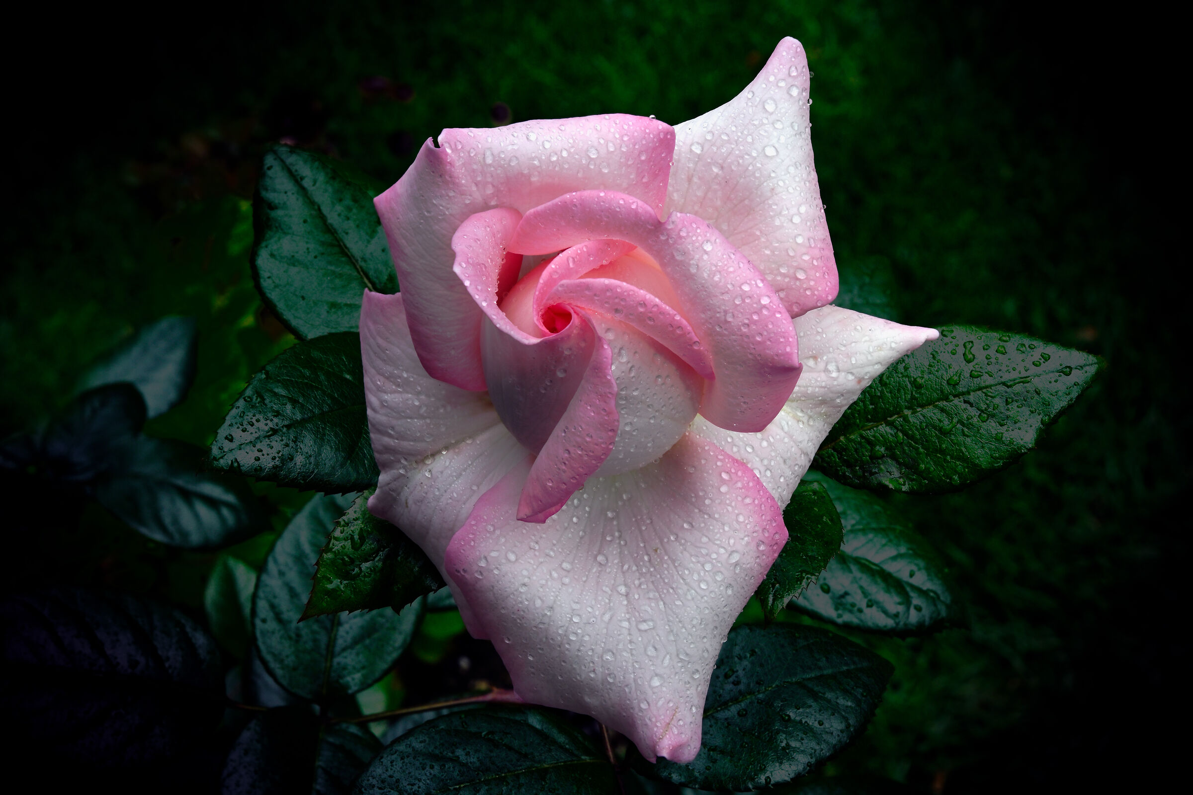 The most fragrant rose 2...