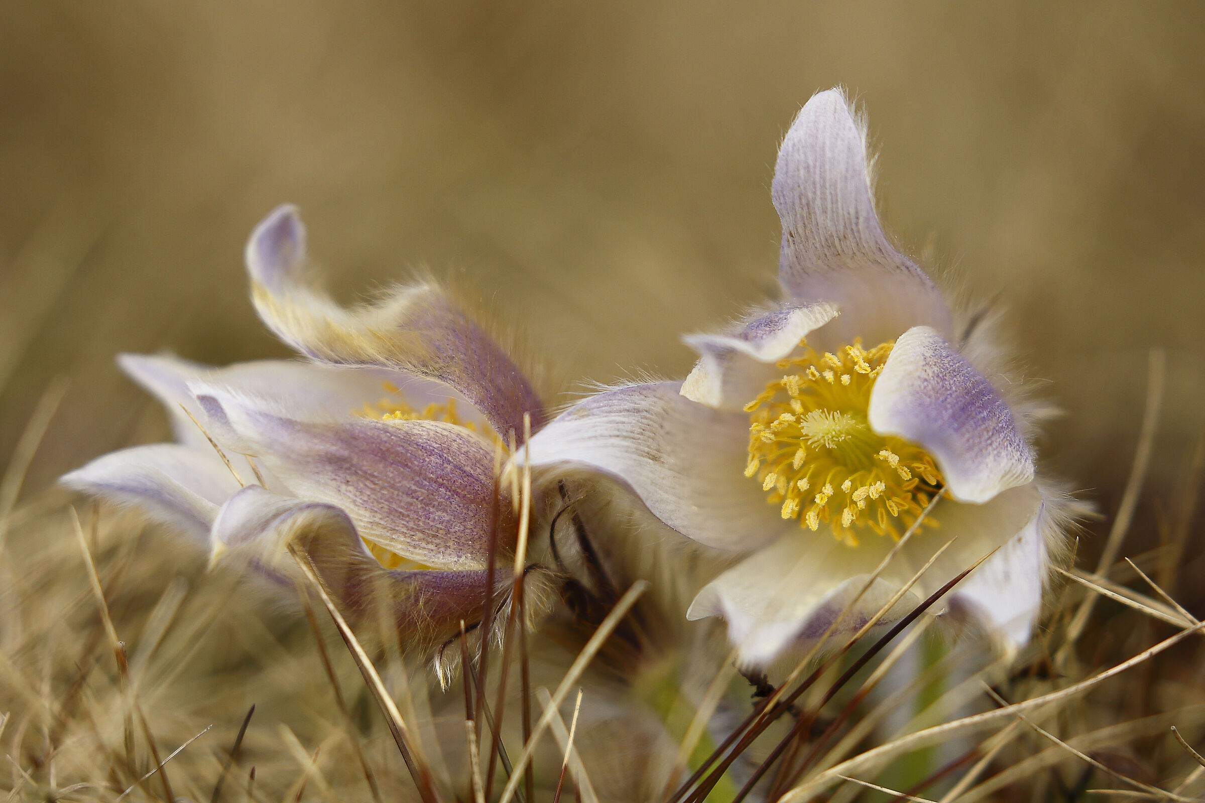 It's the year of the anemones ...