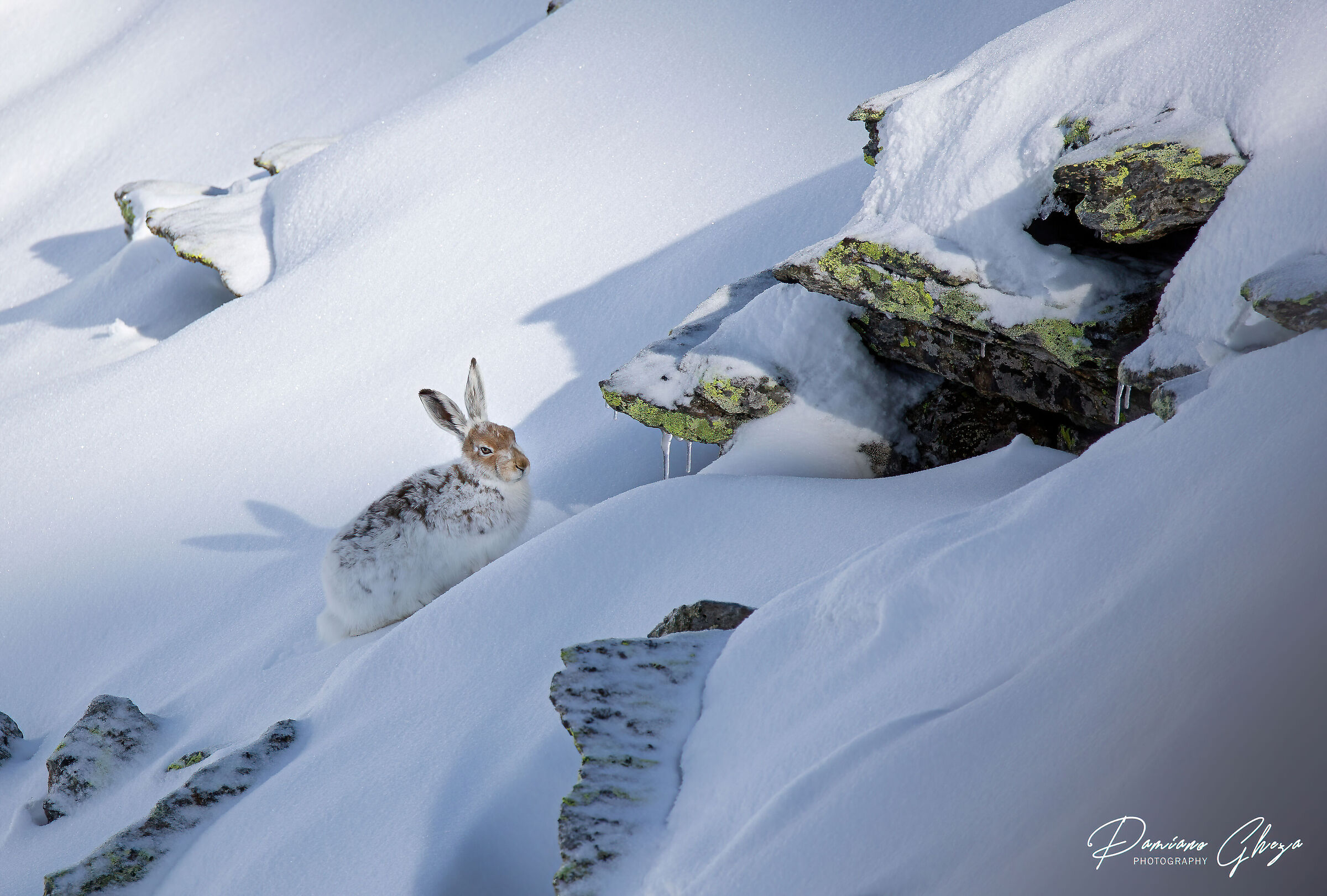 Variable hare...