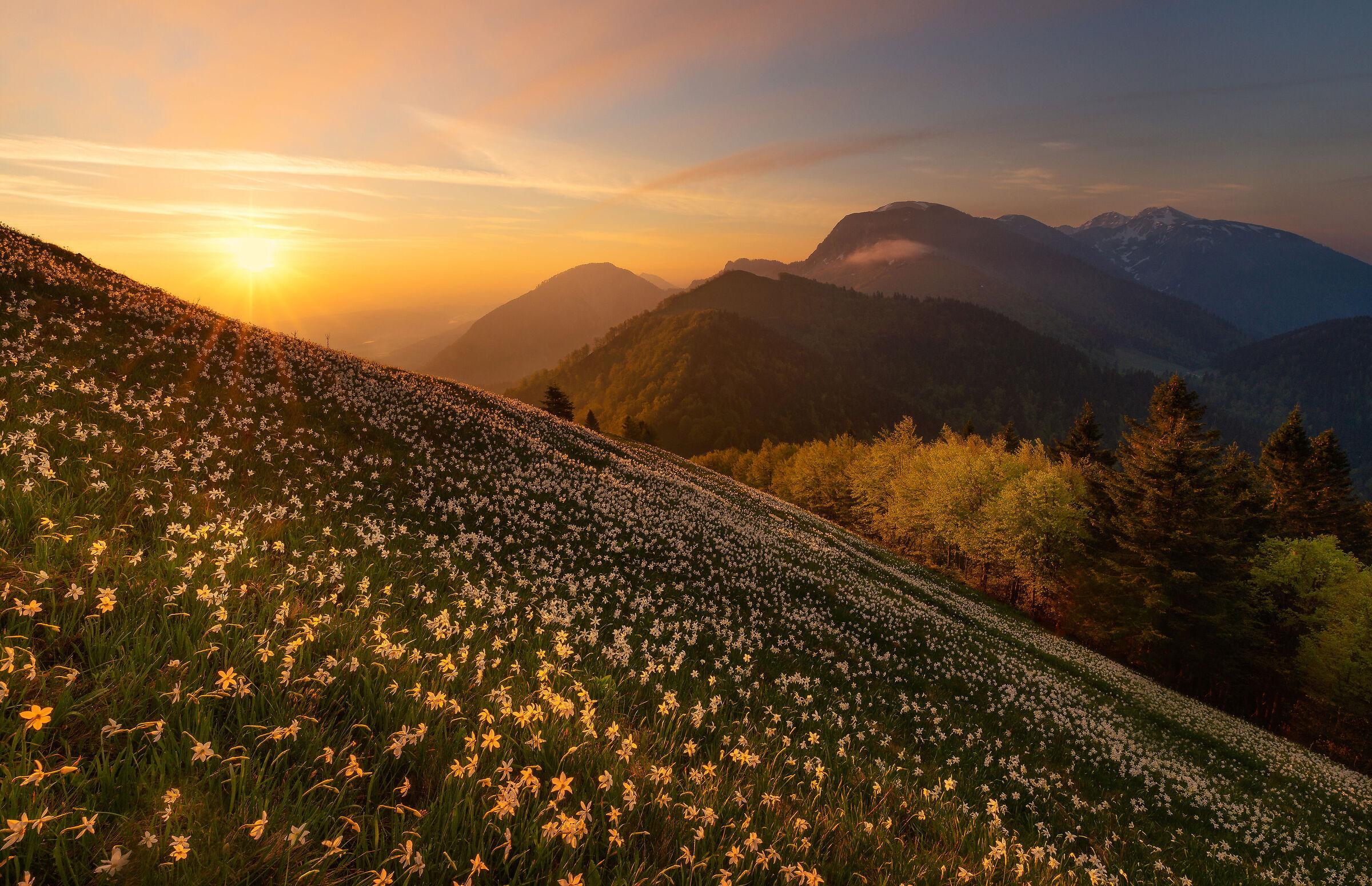 Daffodils at Mt. Golica...
