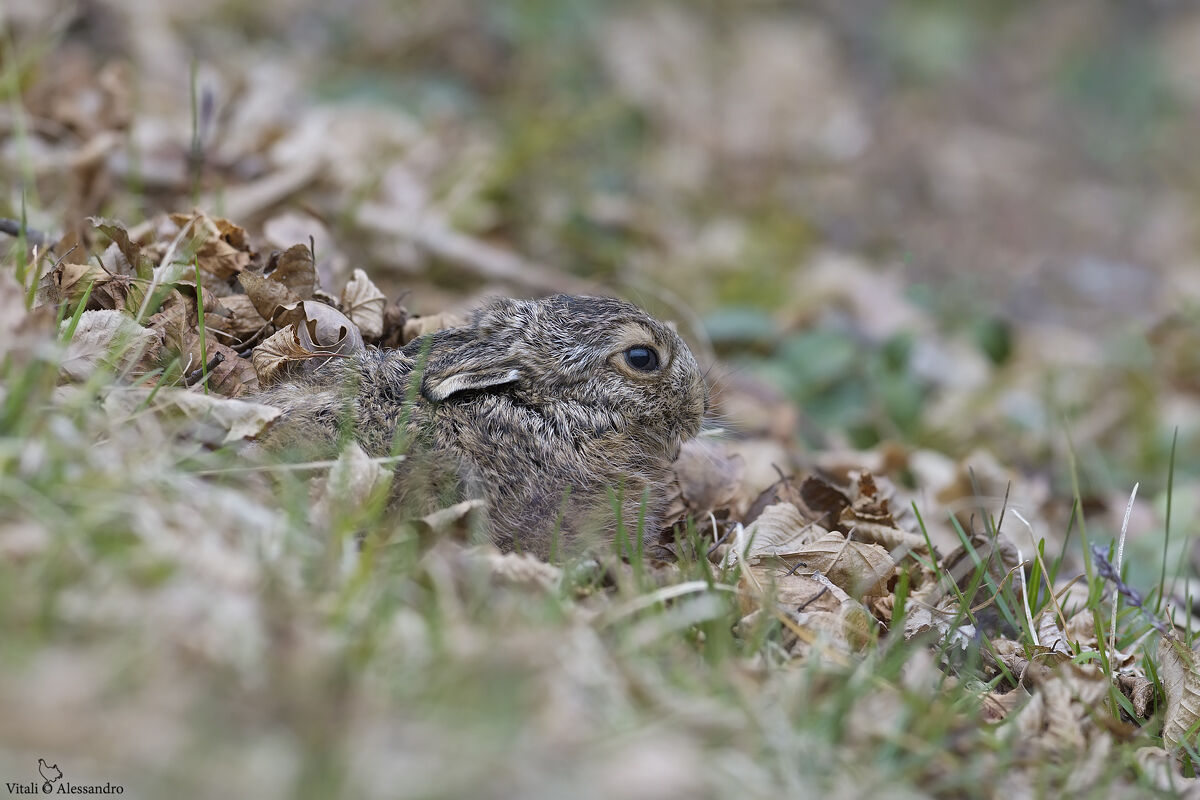 Small of Common Hare...