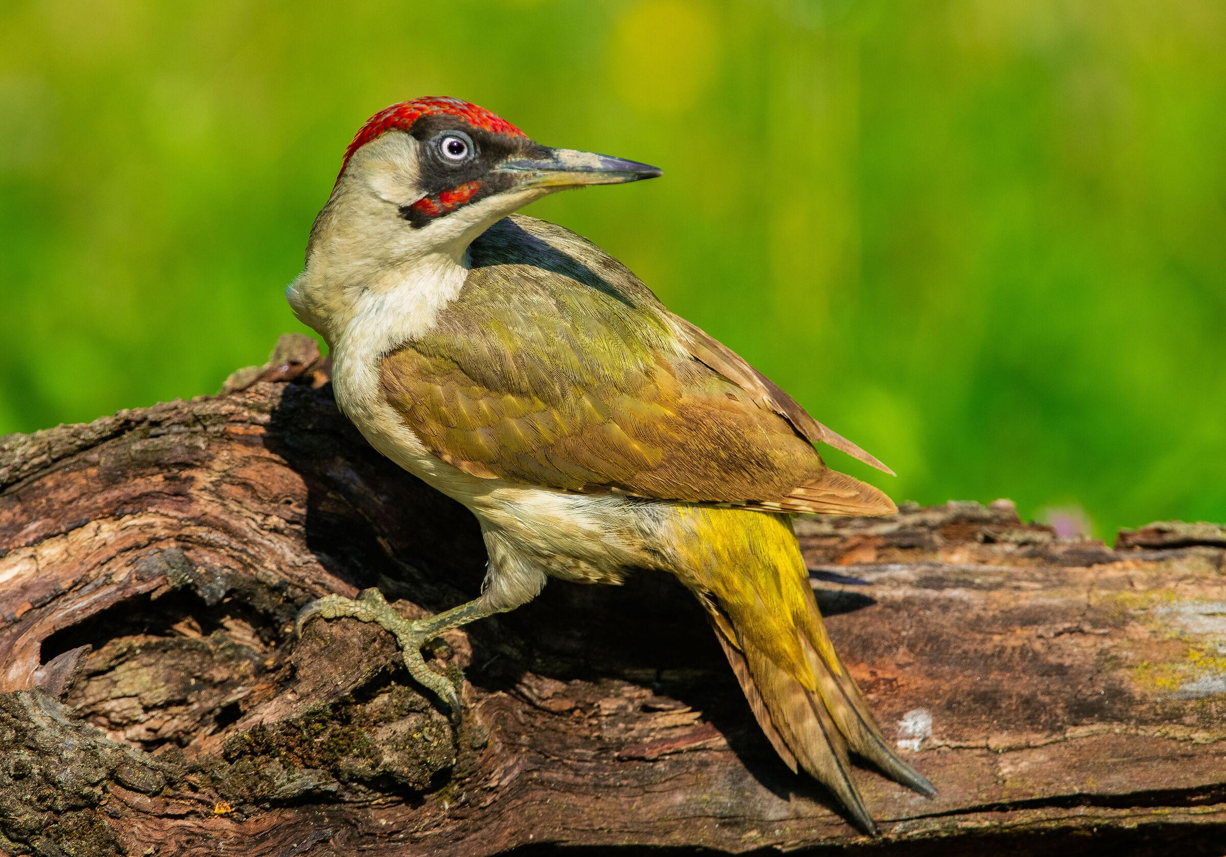 the much-desired green woodpecker...