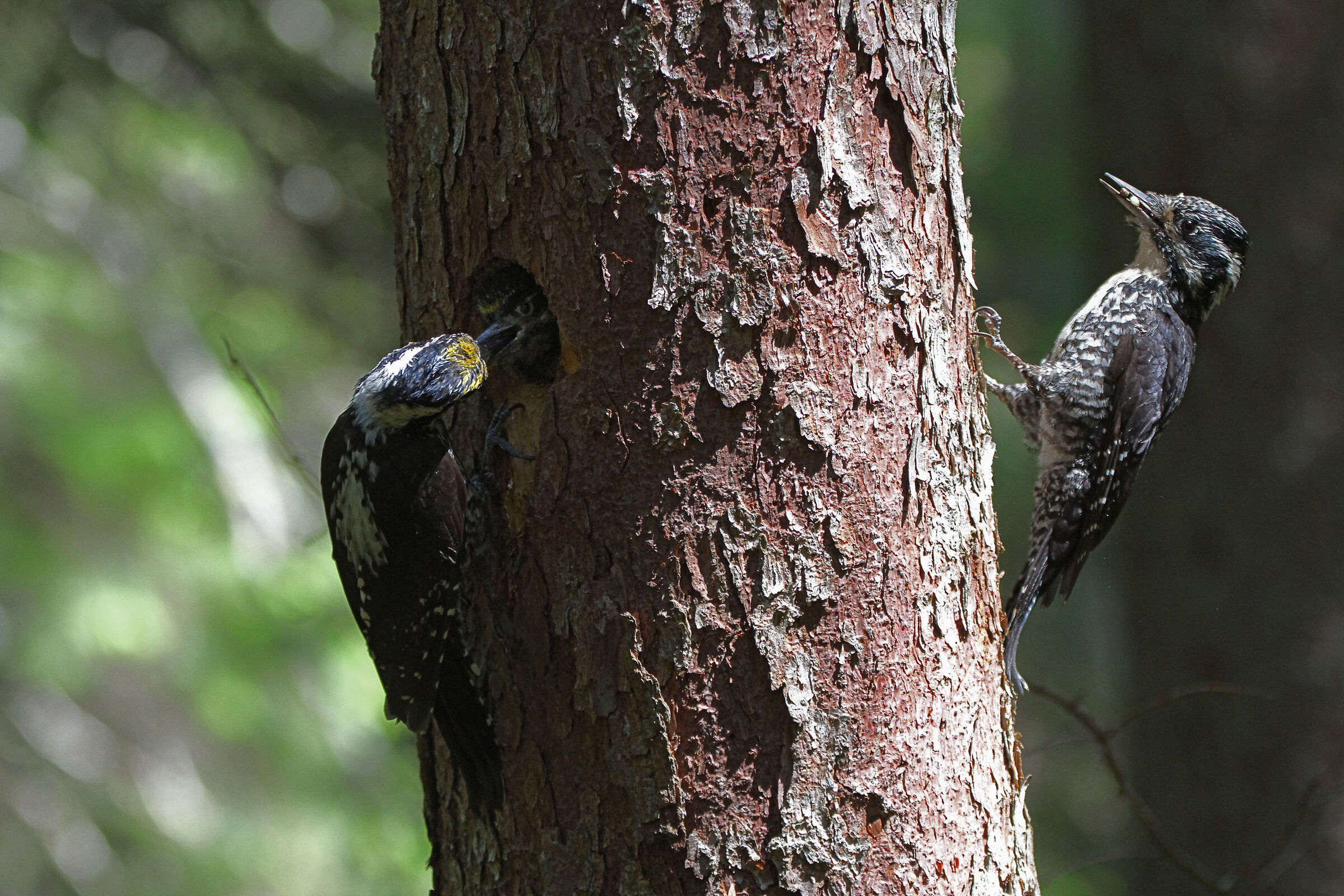 three-toed woodpecker...