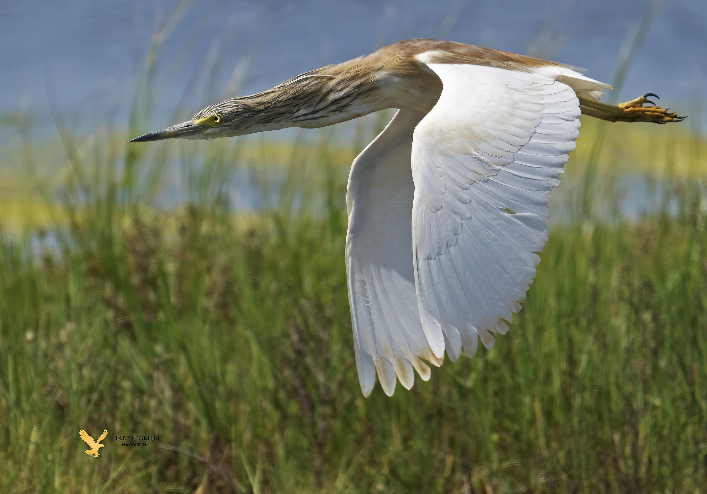 squacco heron.......