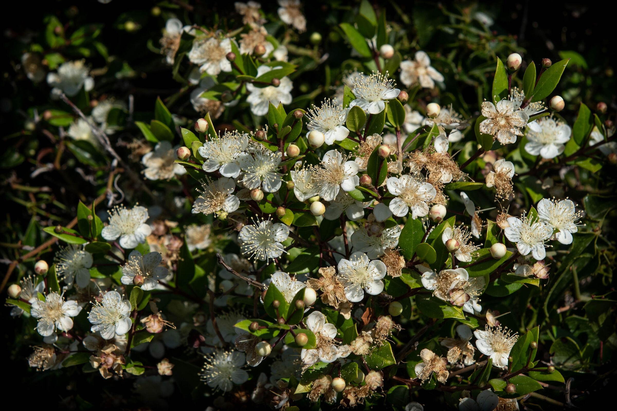 Myrtle in bloom...