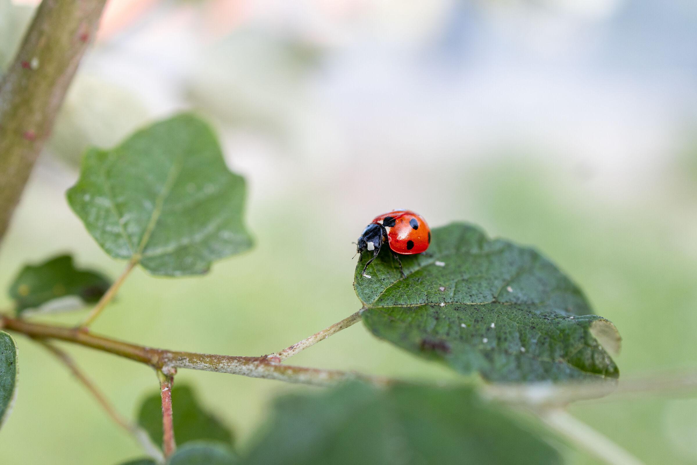 Ladybug 1...