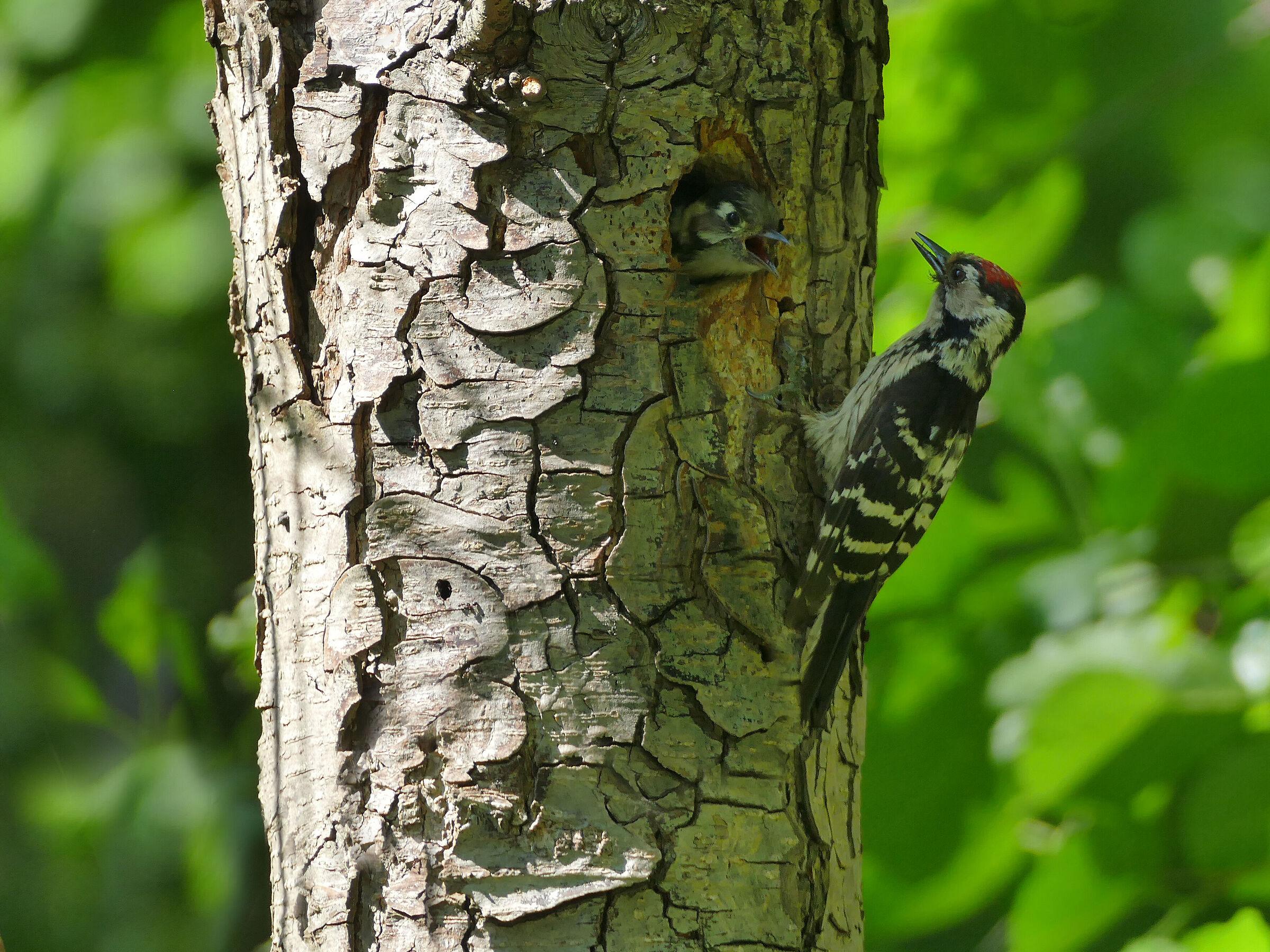 Woodpecker 2 (Dendrocopos minor)...